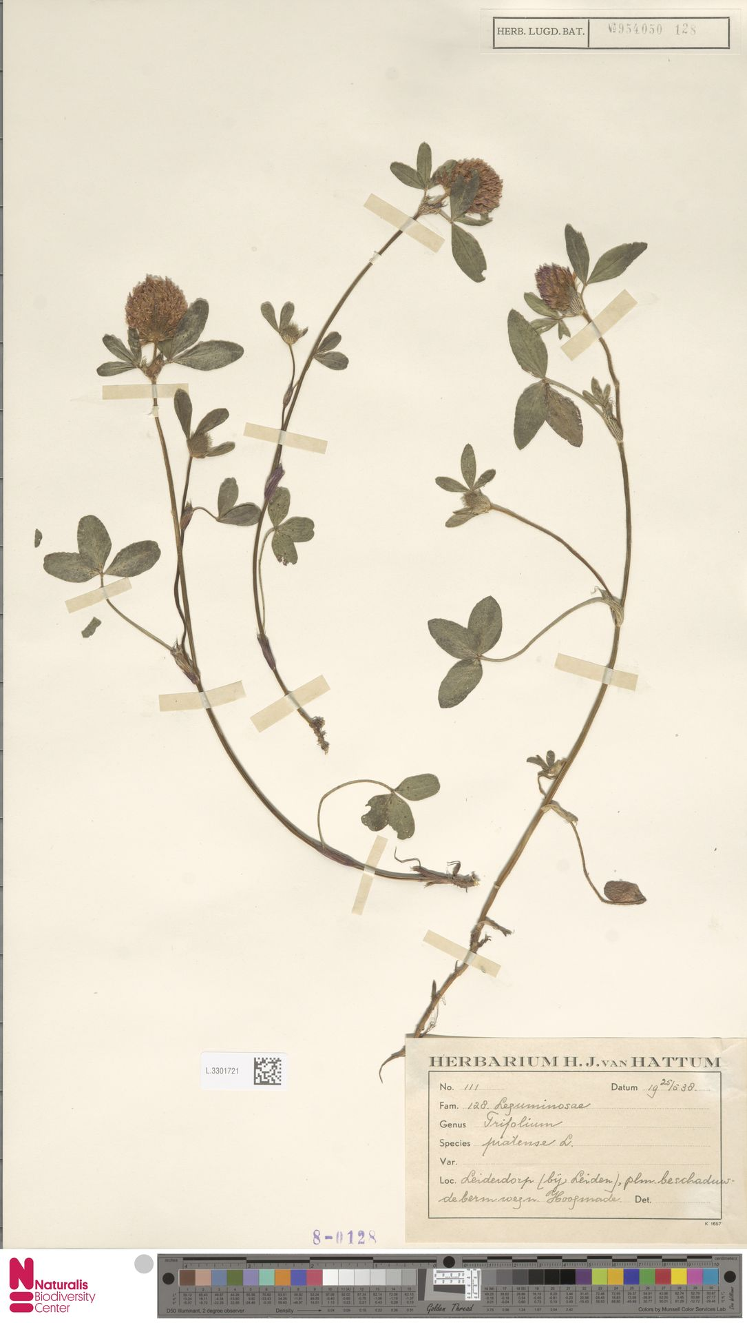 L.3301721   Trifolium pratense L.