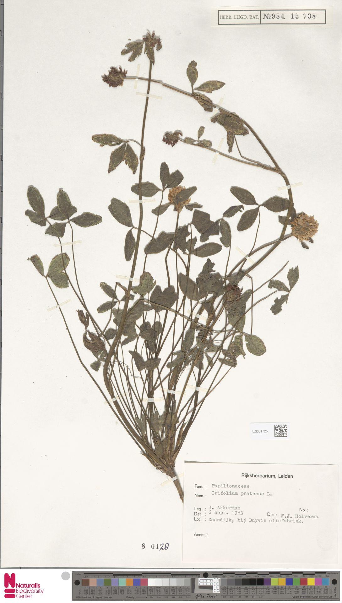 L.3301725 | Trifolium pratense L.