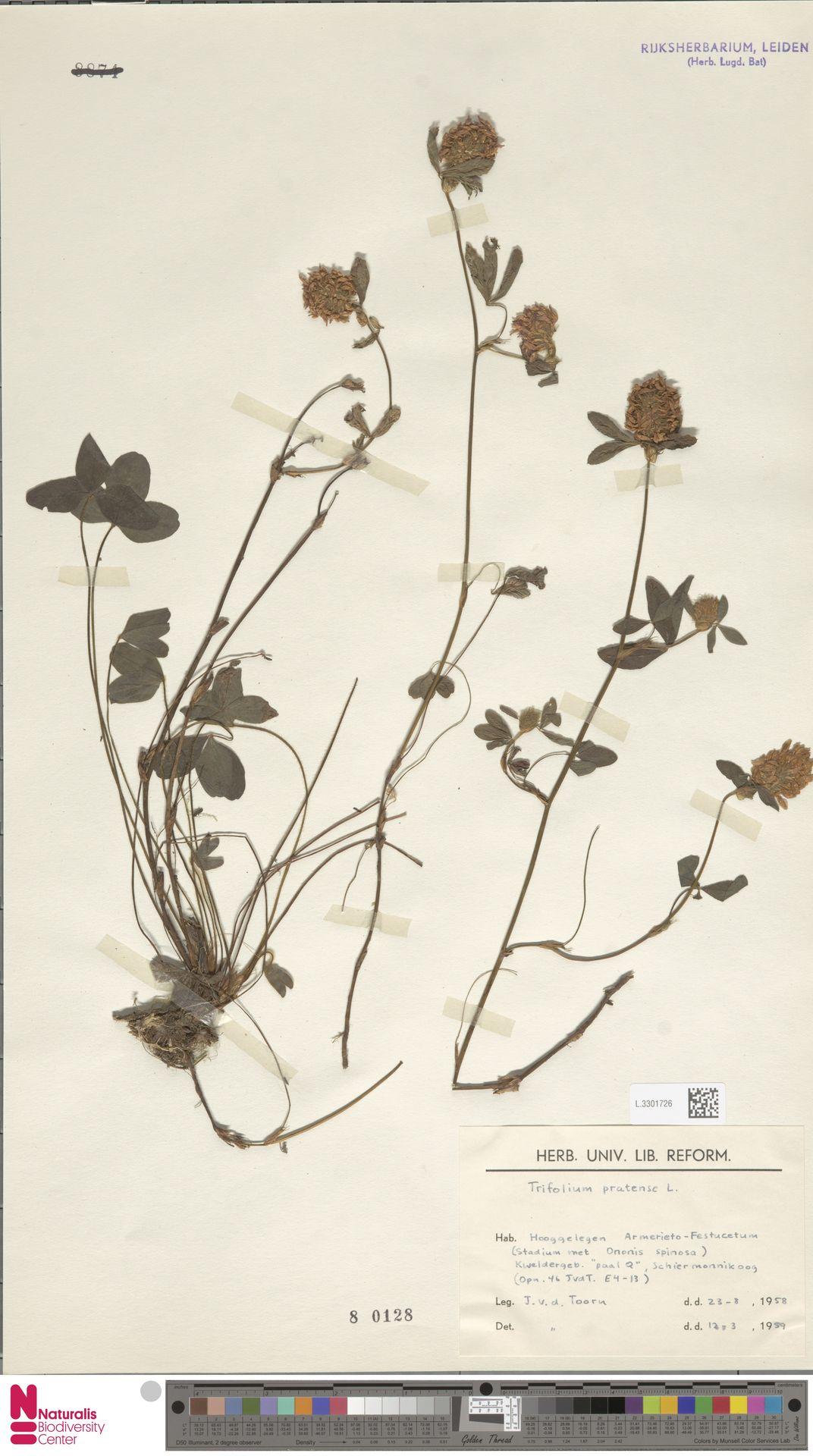 L.3301726 | Trifolium pratense L.