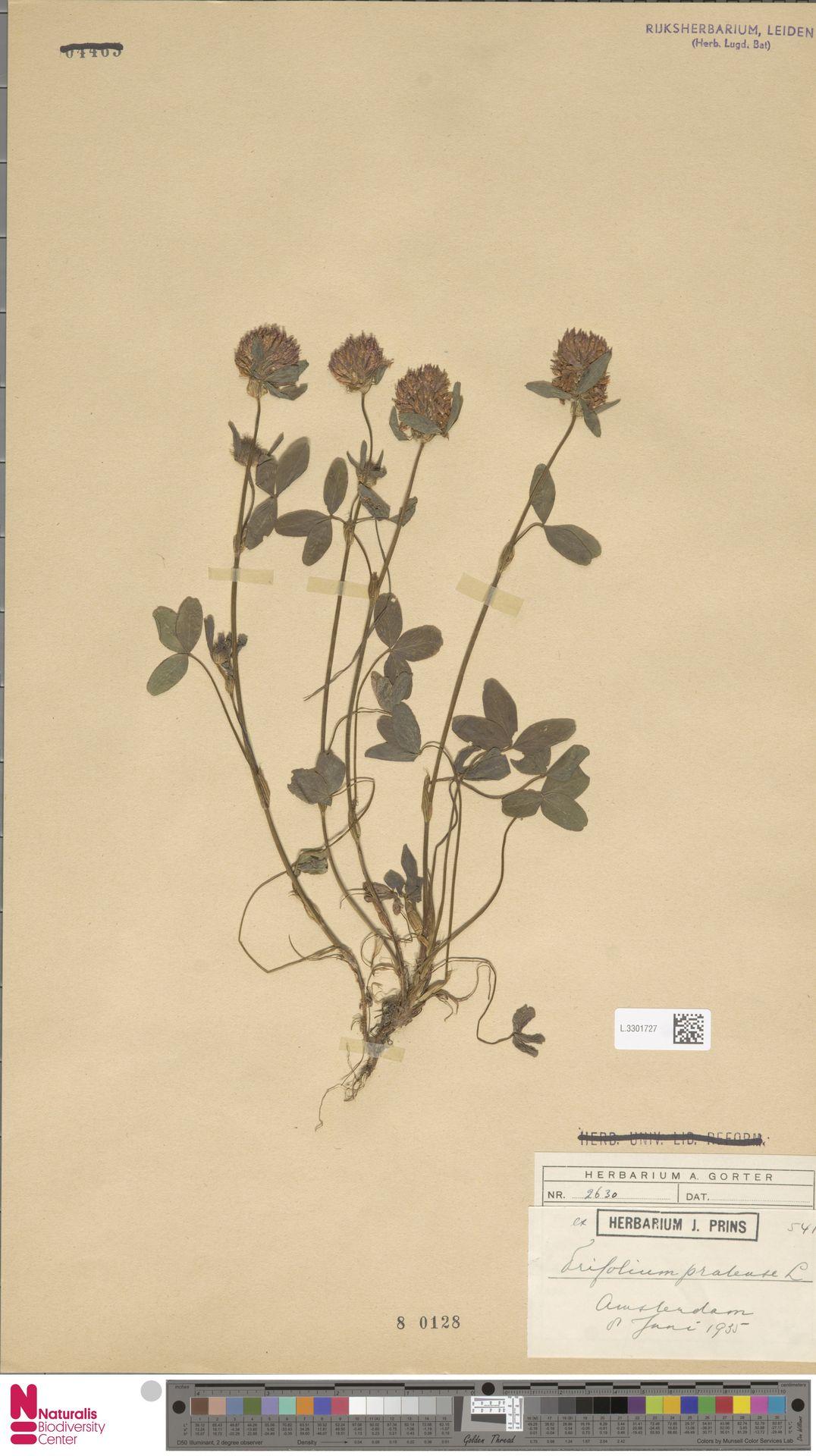 L.3301727 | Trifolium pratense L.