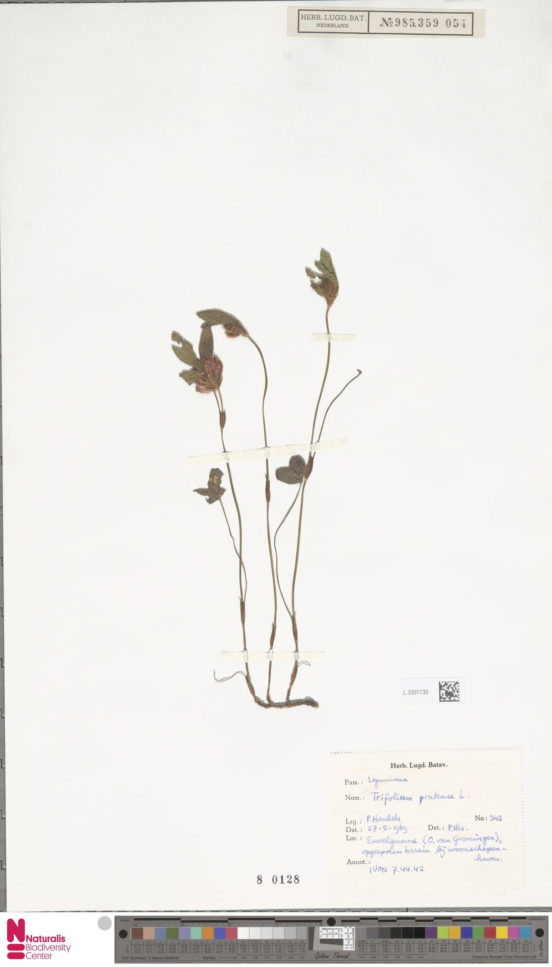L.3301730   Trifolium pratense L.