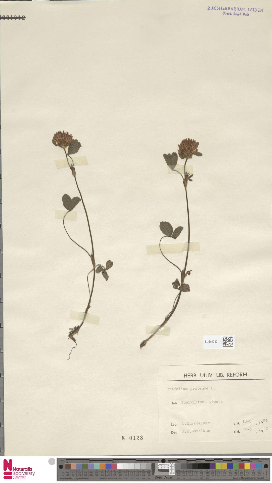 L.3301732 | Trifolium pratense L.