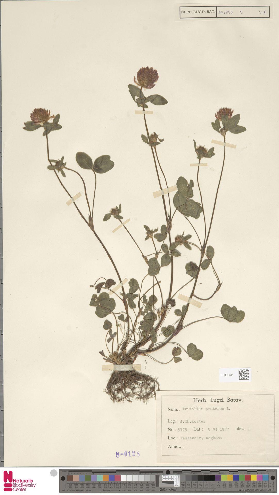L.3301736   Trifolium pratense L.