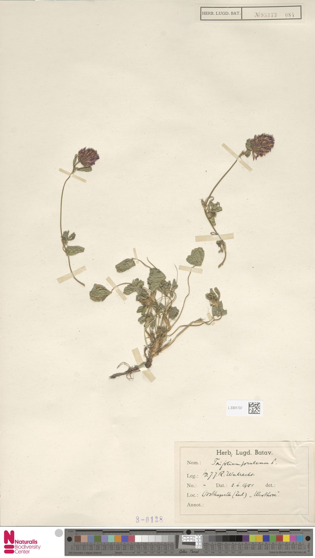 L.3301737 | Trifolium pratense L.