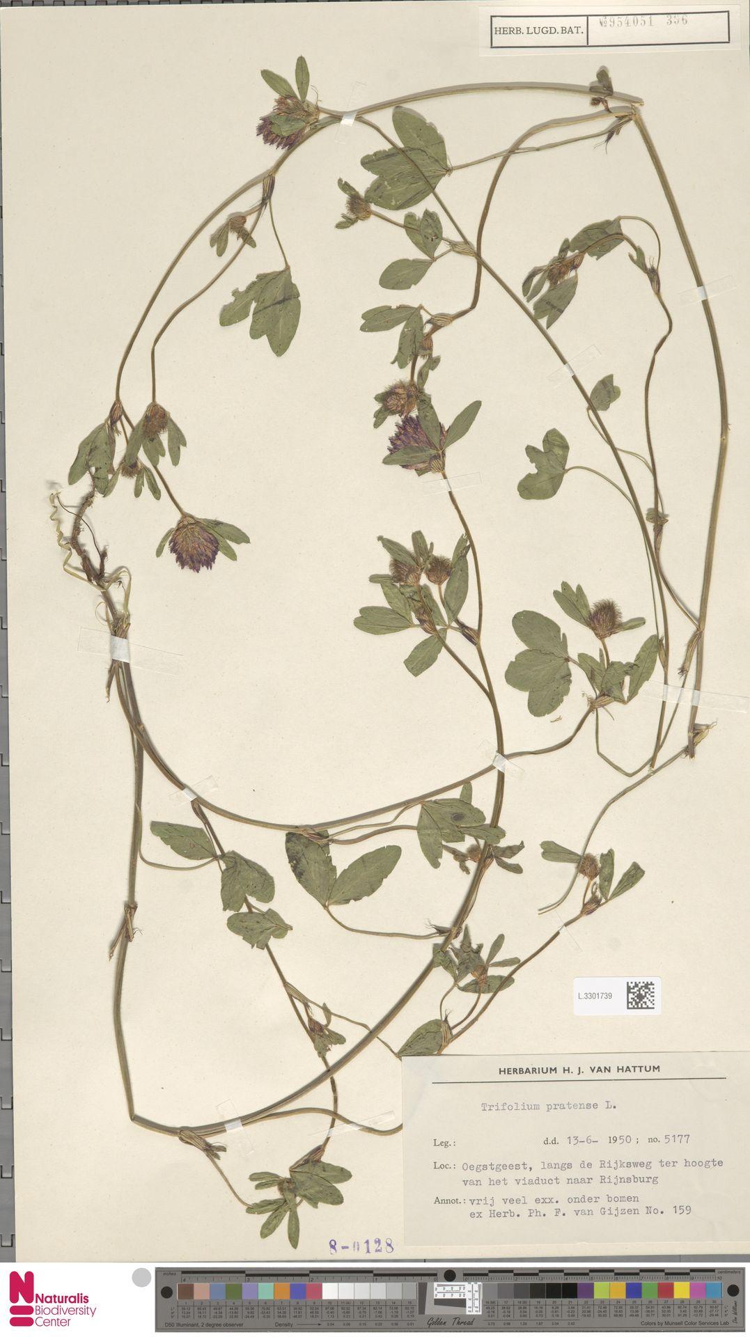 L.3301739 | Trifolium pratense L.