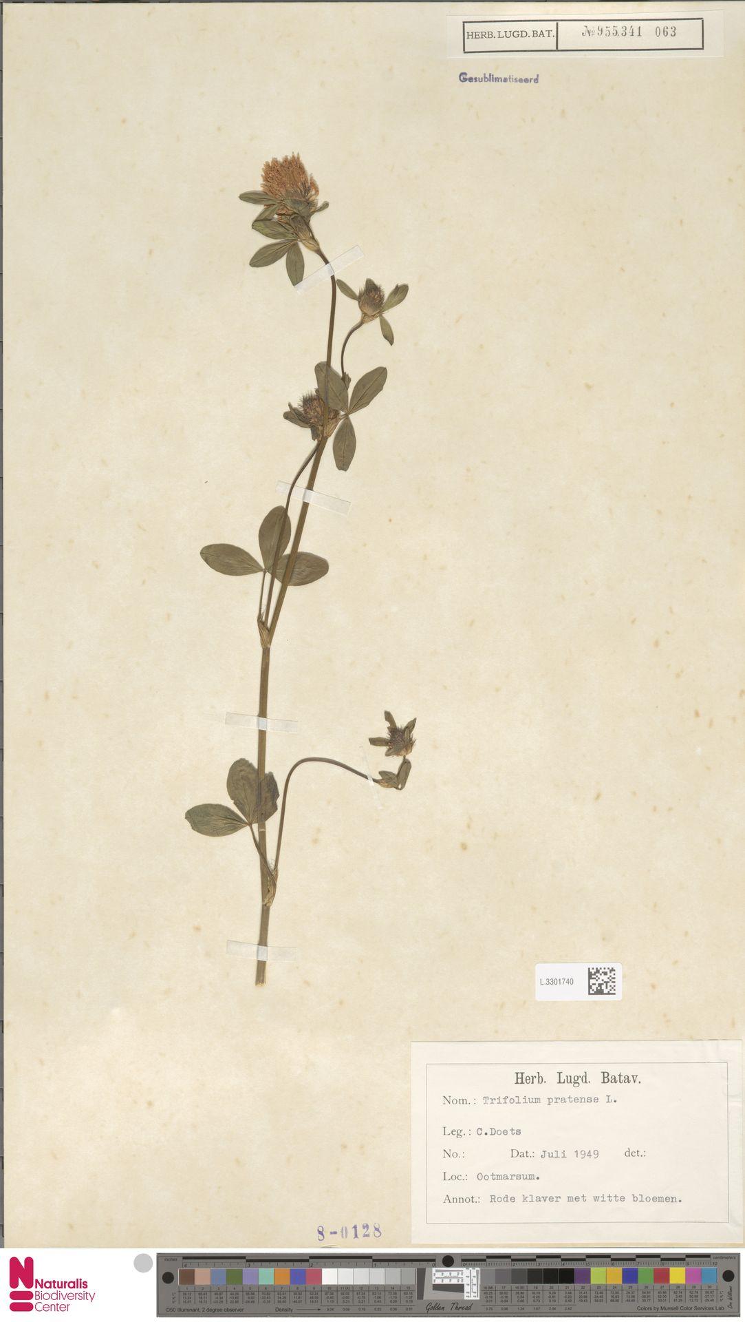 L.3301740 | Trifolium pratense L.