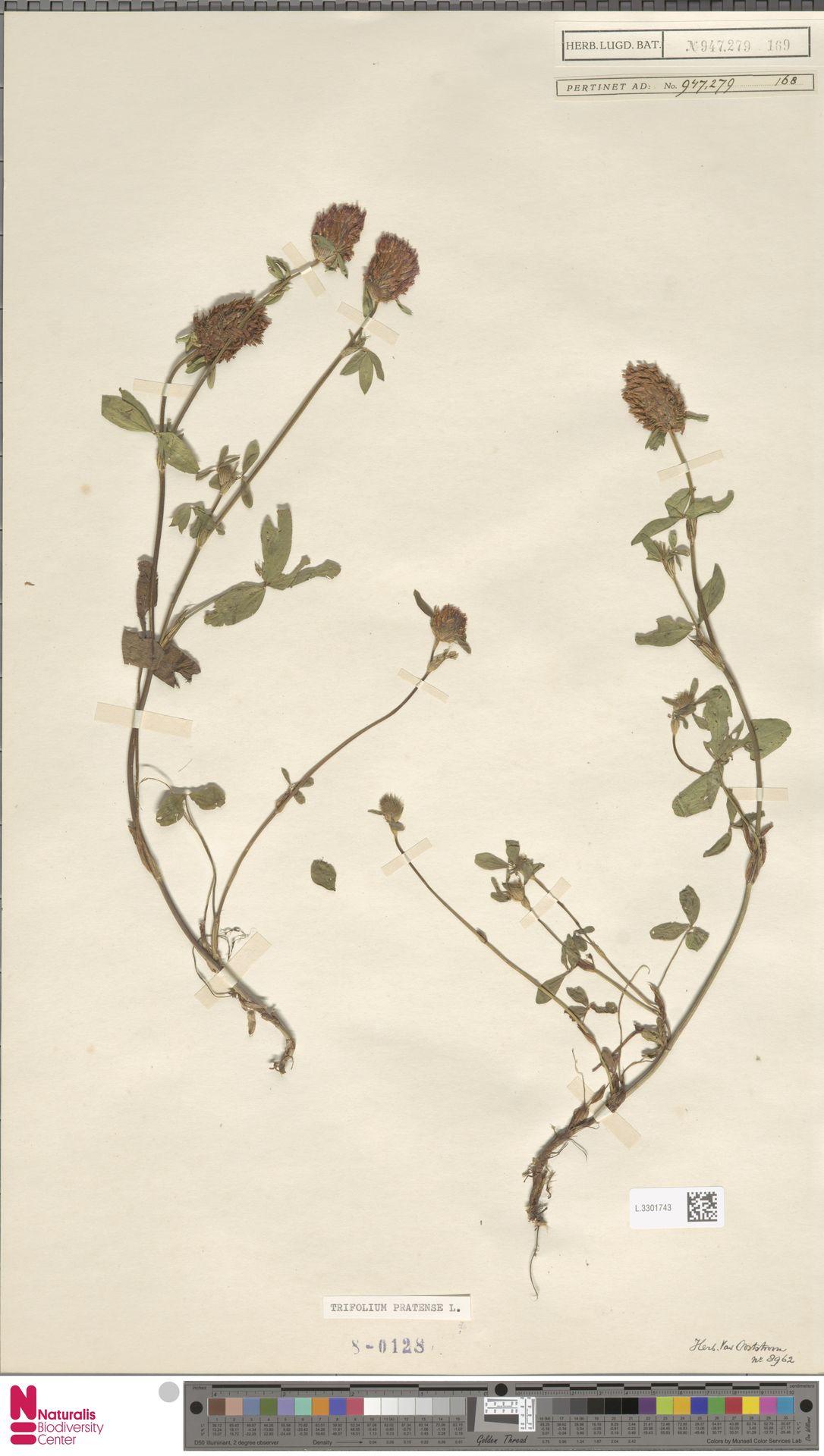 L.3301743 | Trifolium pratense L.