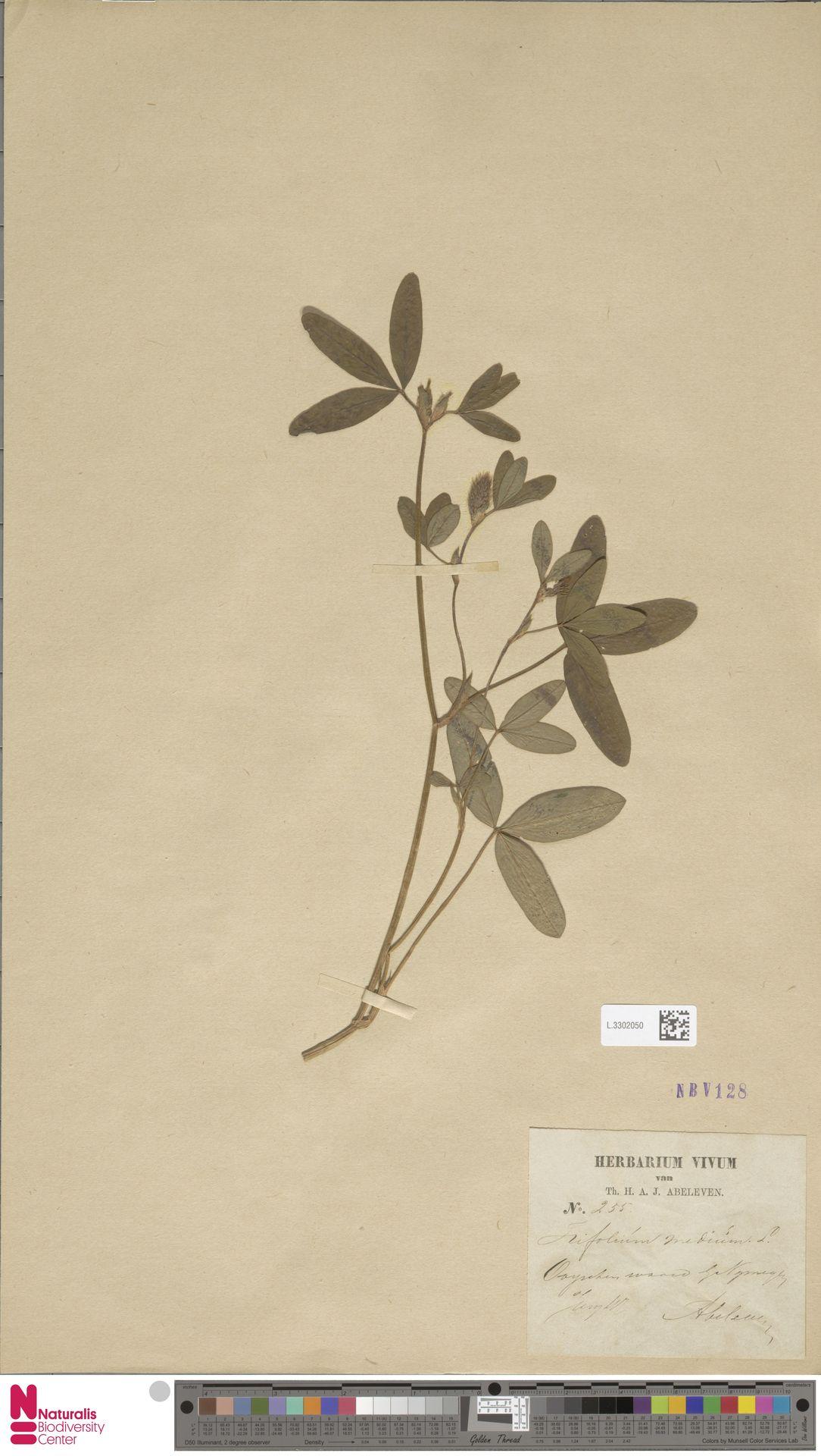 L.3302050 | Trifolium pratense L.