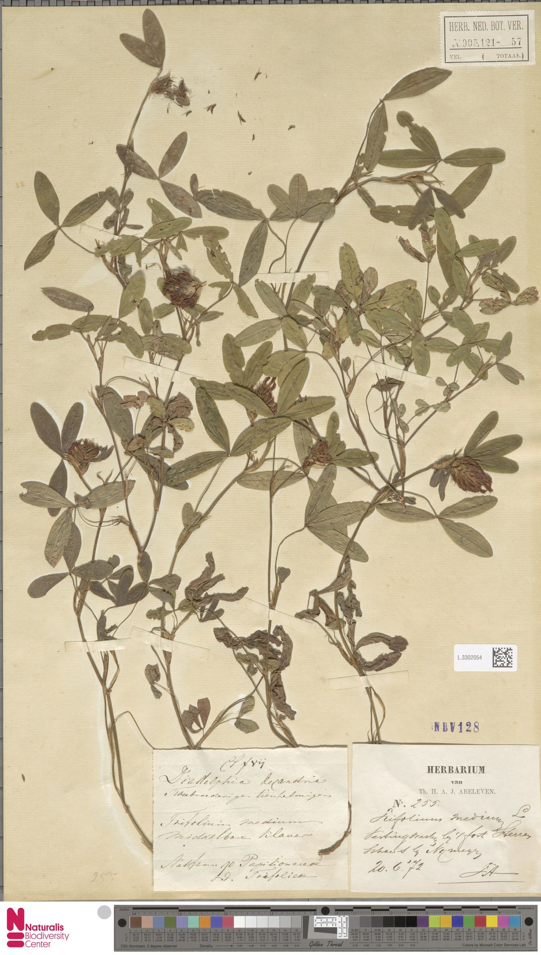 L.3302054 | Trifolium pratense L.