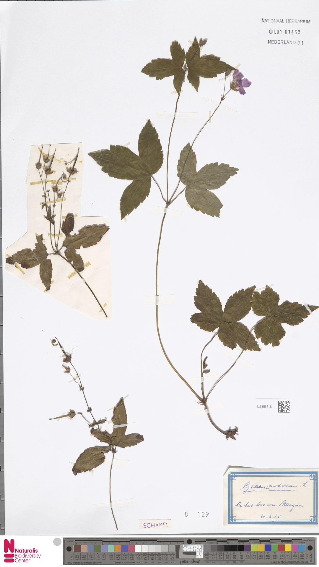 L.3306218   Geranium nodosum L.
