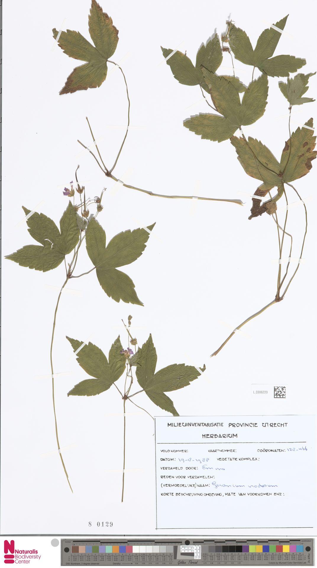 L.3306220 | Geranium nodosum L.