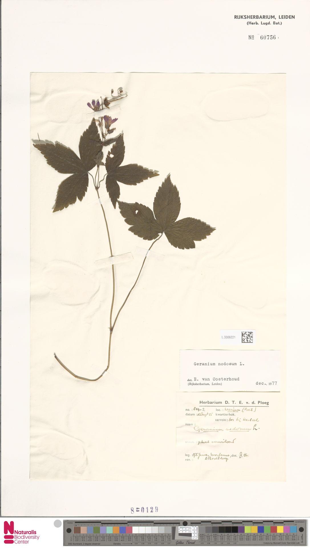 L.3306221 | Geranium nodosum L.