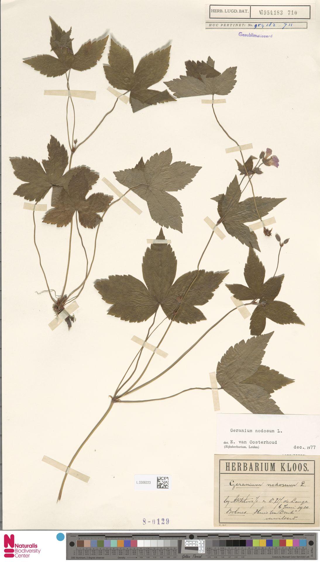 L.3306223 | Geranium nodosum L.