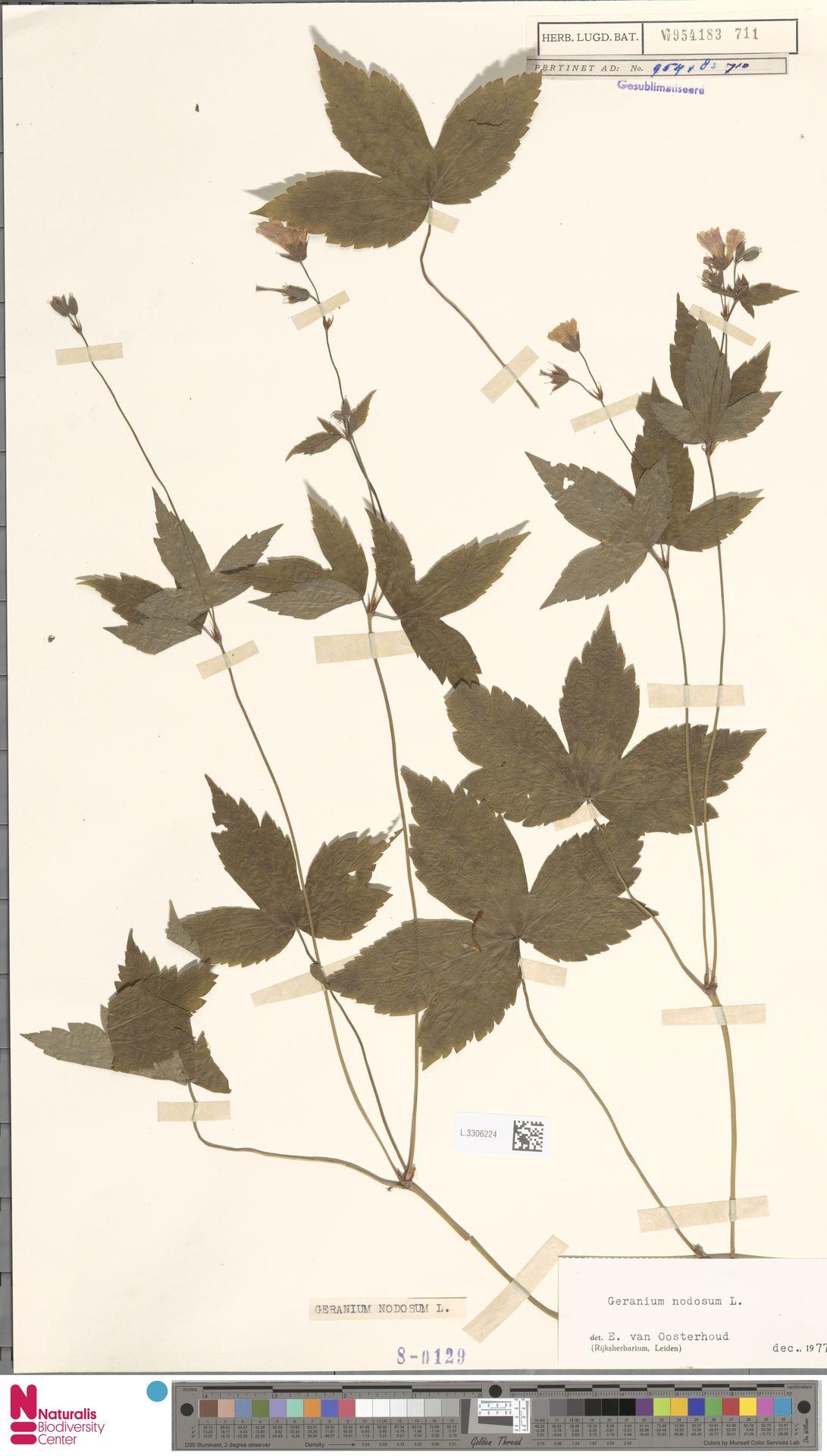L.3306224 | Geranium nodosum L.
