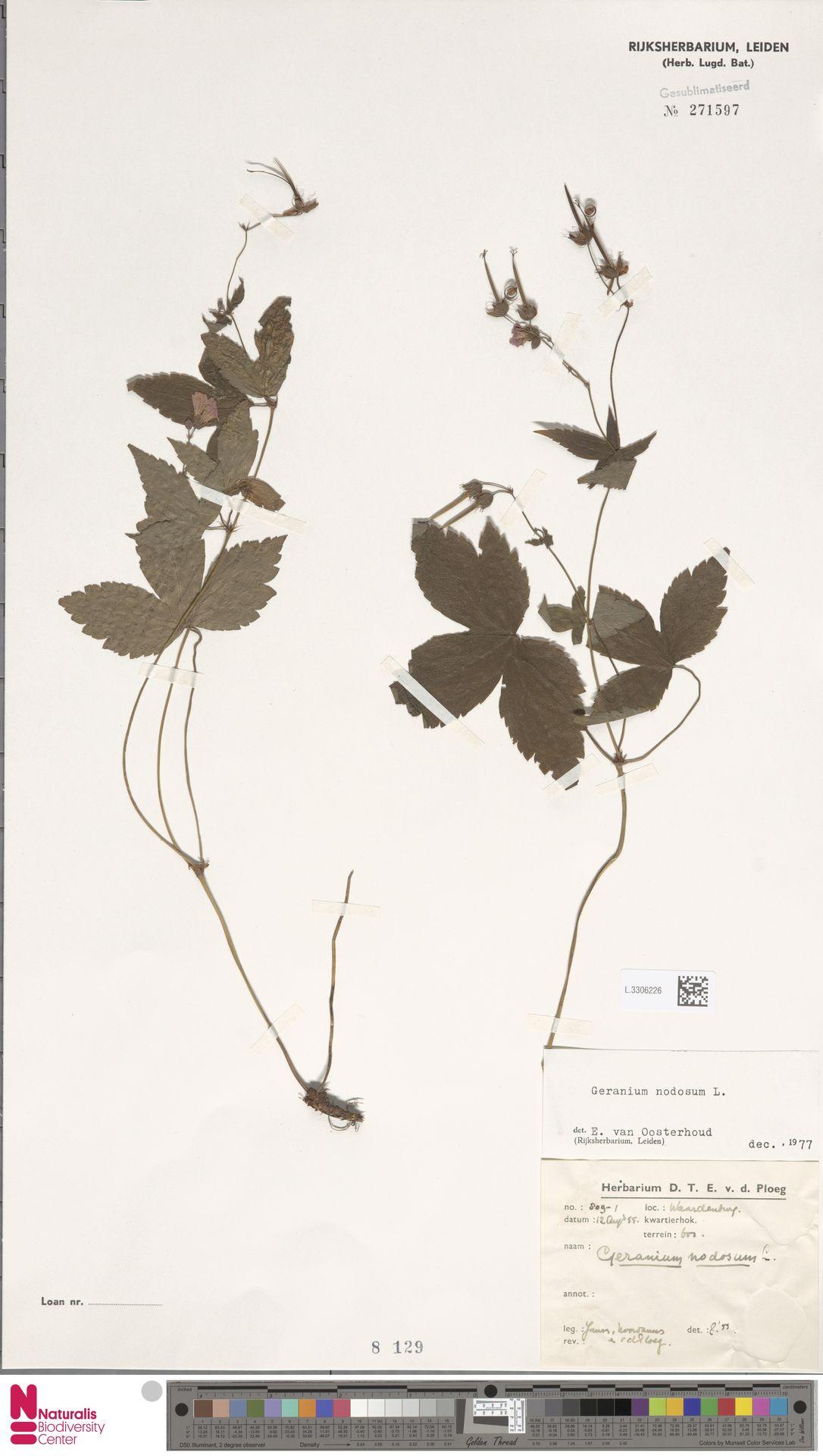 L.3306226 | Geranium nodosum L.