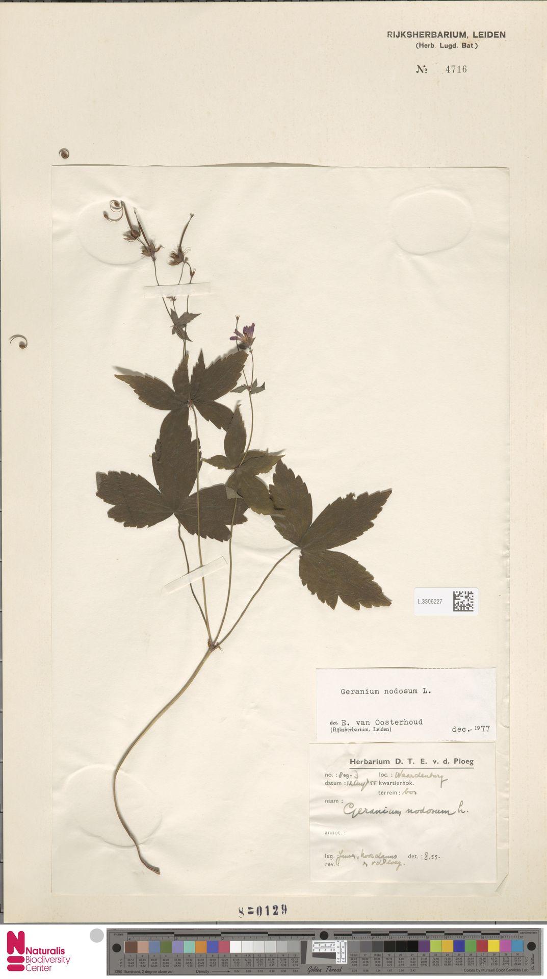 L.3306227 | Geranium nodosum L.