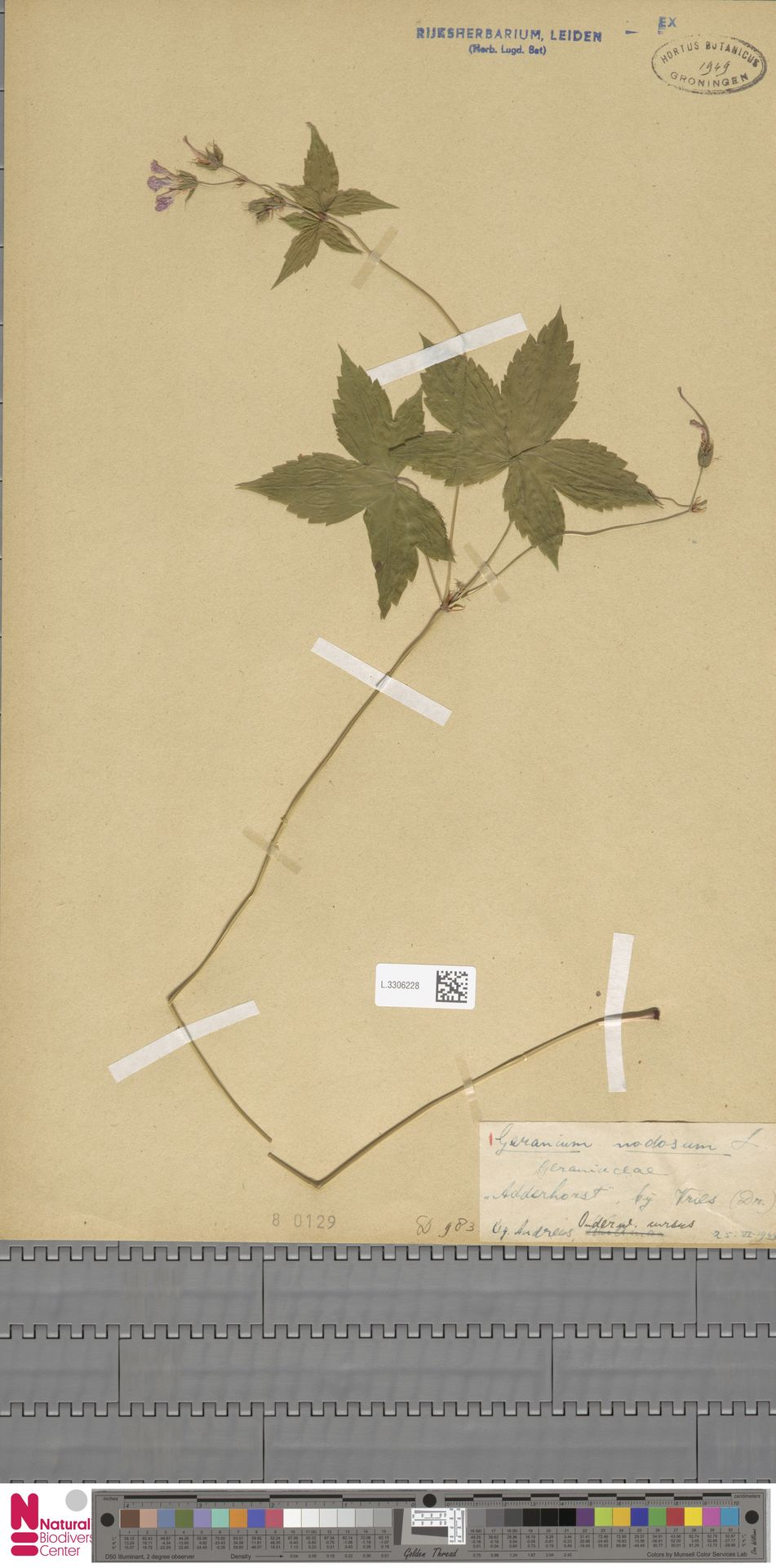 L.3306228 | Geranium nodosum L.