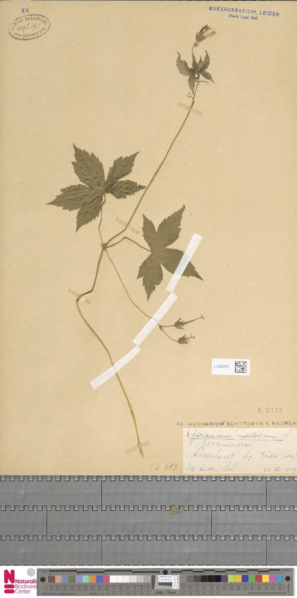 L.3306229 | Geranium nodosum L.