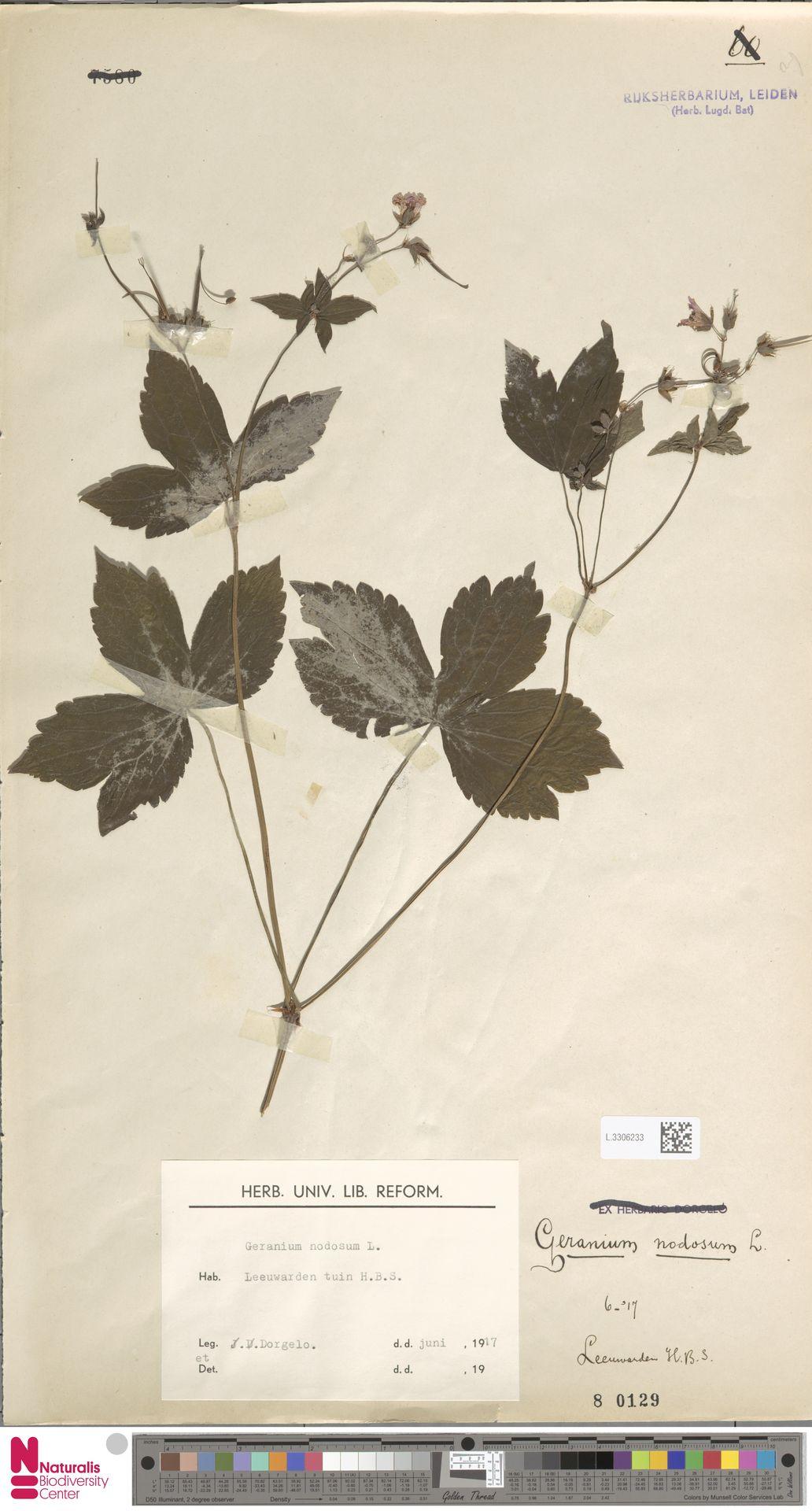 L.3306233 | Geranium nodosum L.