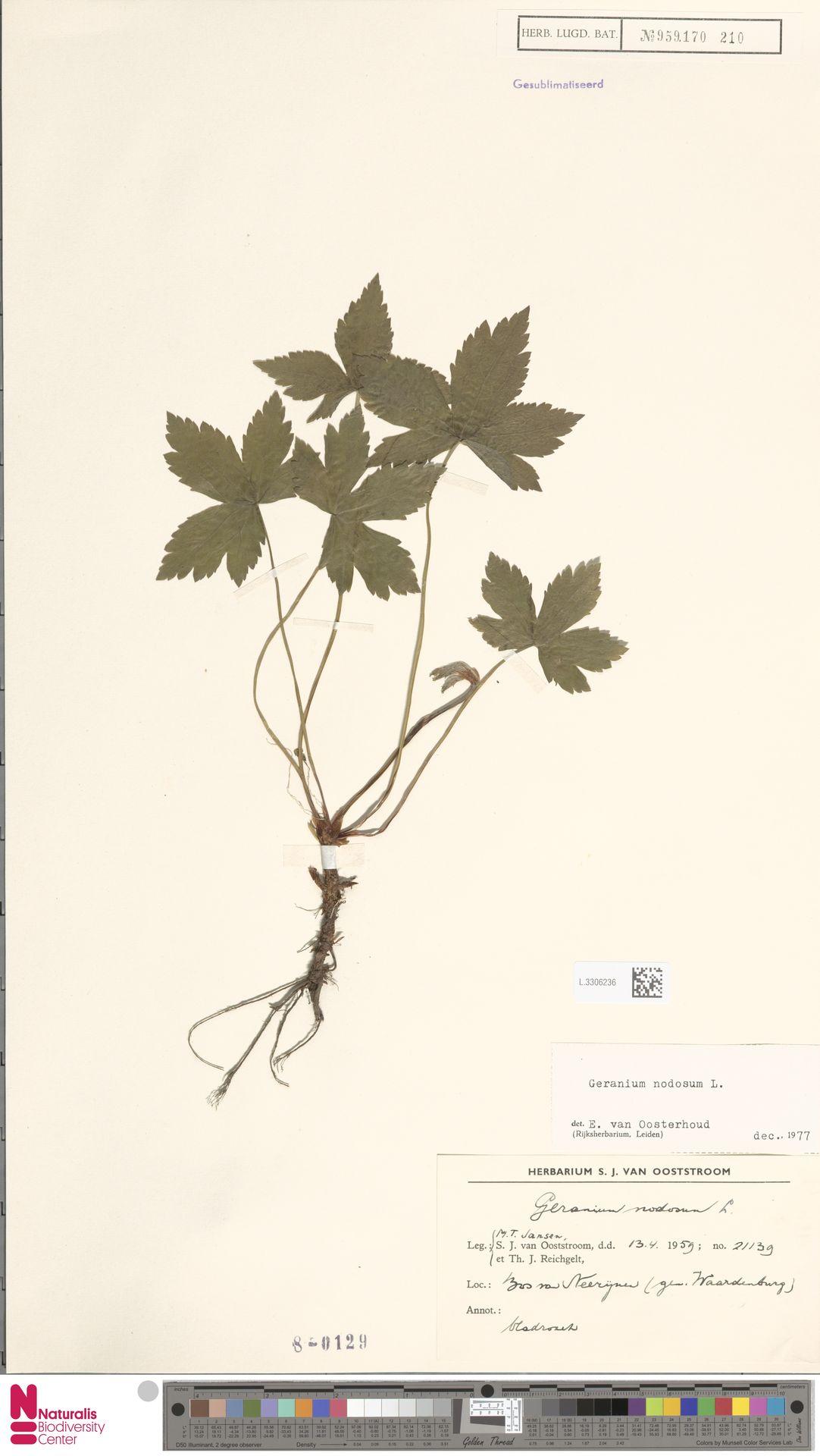 L.3306236 | Geranium nodosum L.