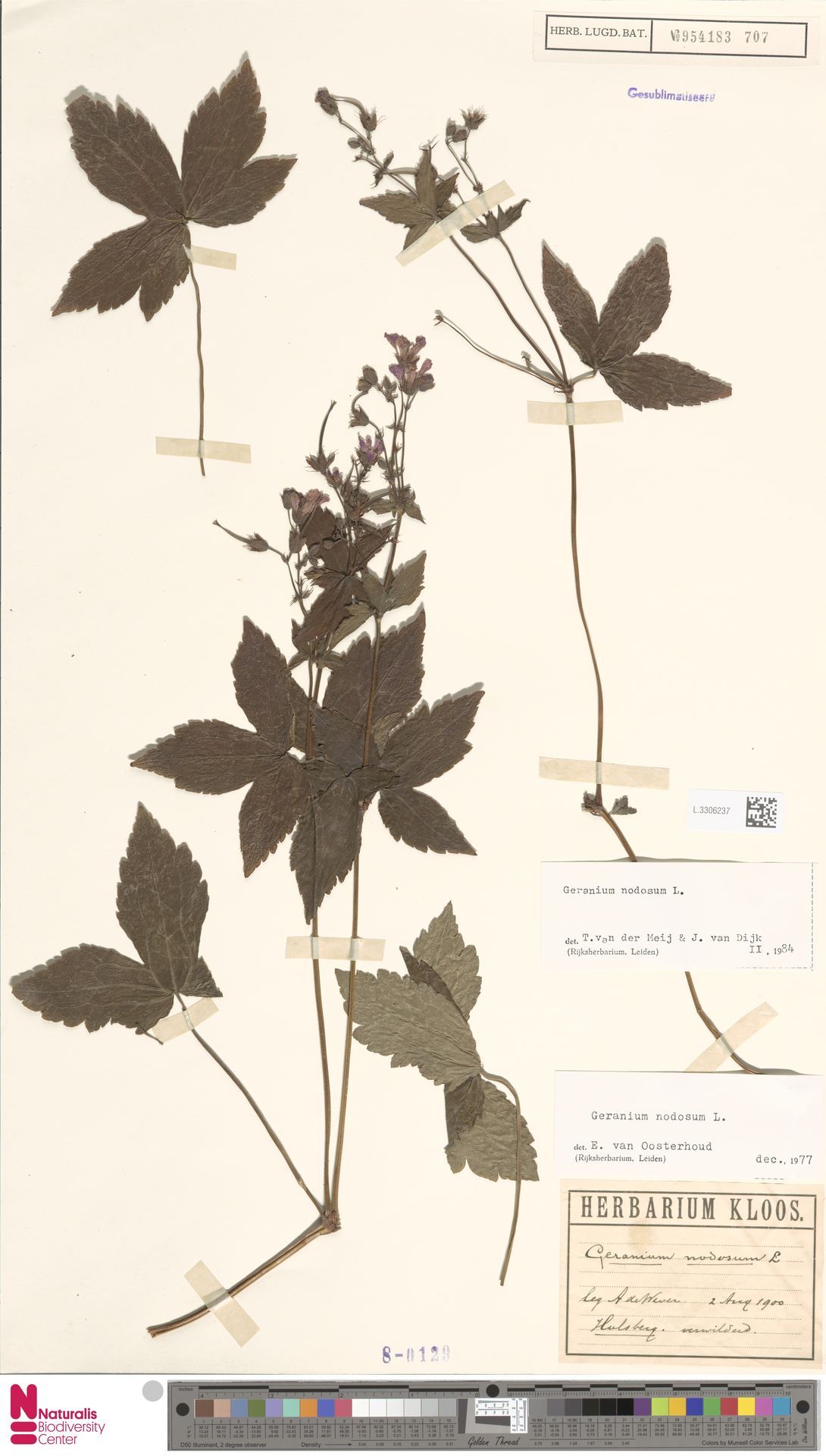 L.3306237 | Geranium nodosum L.