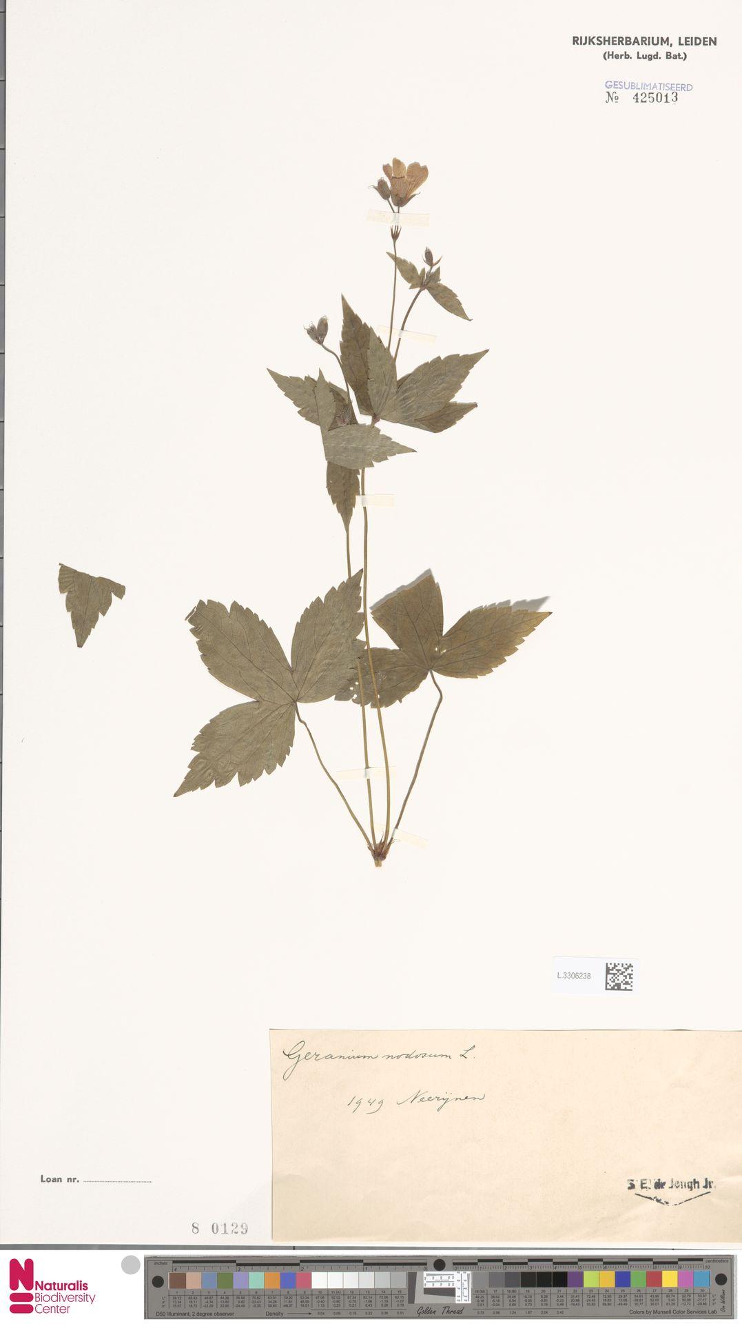 L.3306238 | Geranium nodosum L.