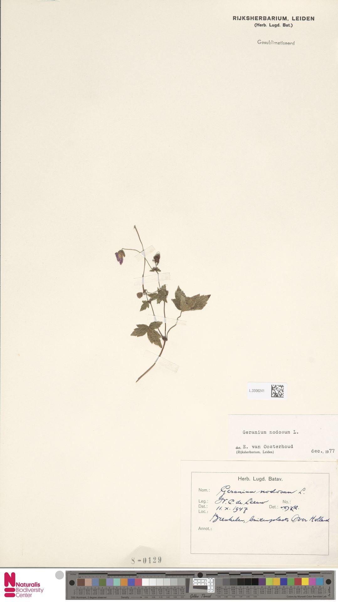 L.3306241 | Geranium nodosum L.