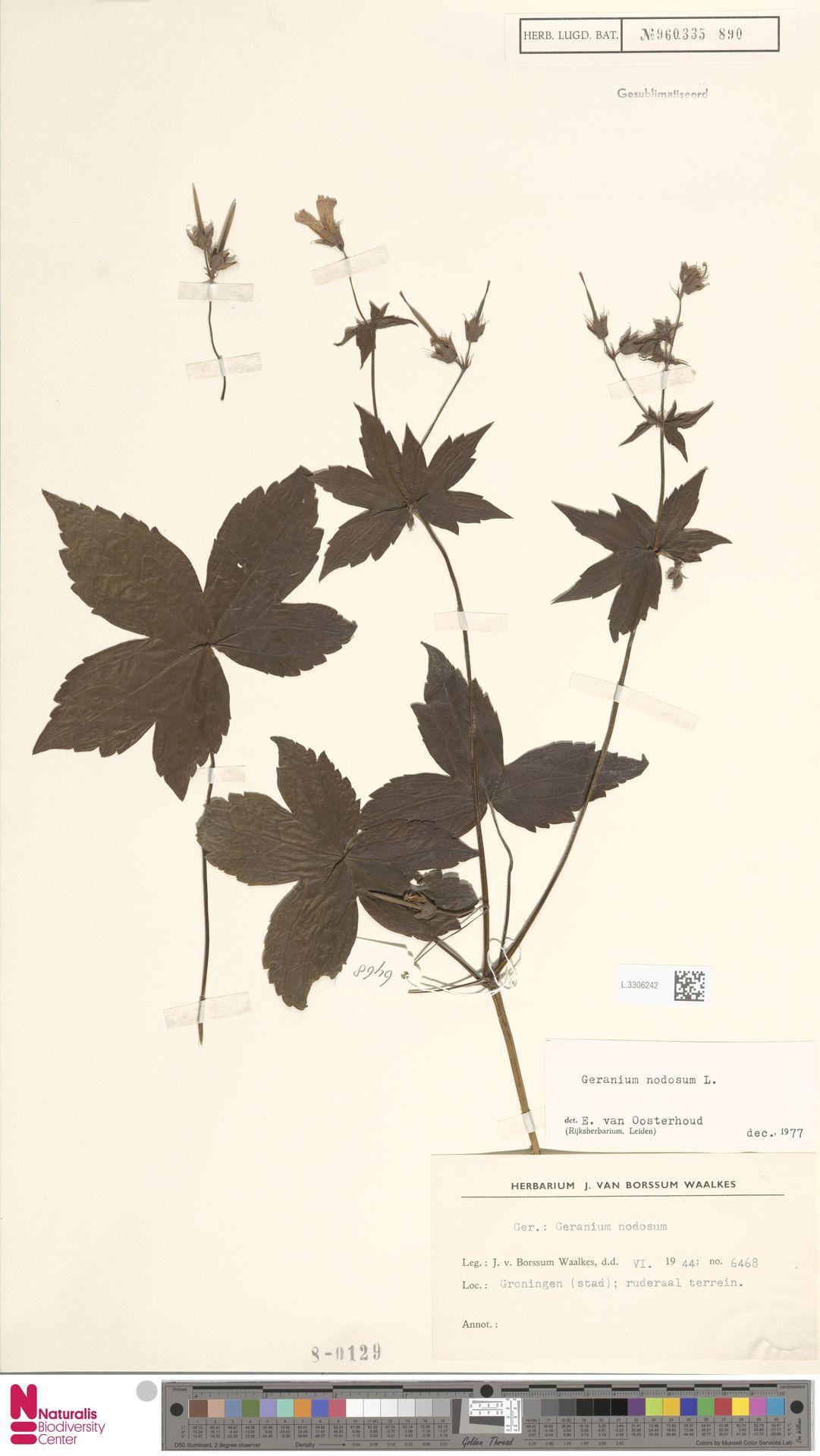 L.3306242 | Geranium nodosum L.