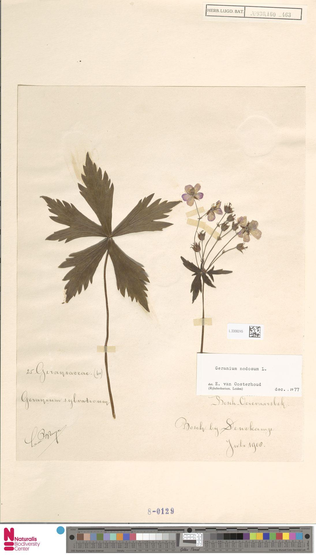 L.3306245 | Geranium nodosum L.