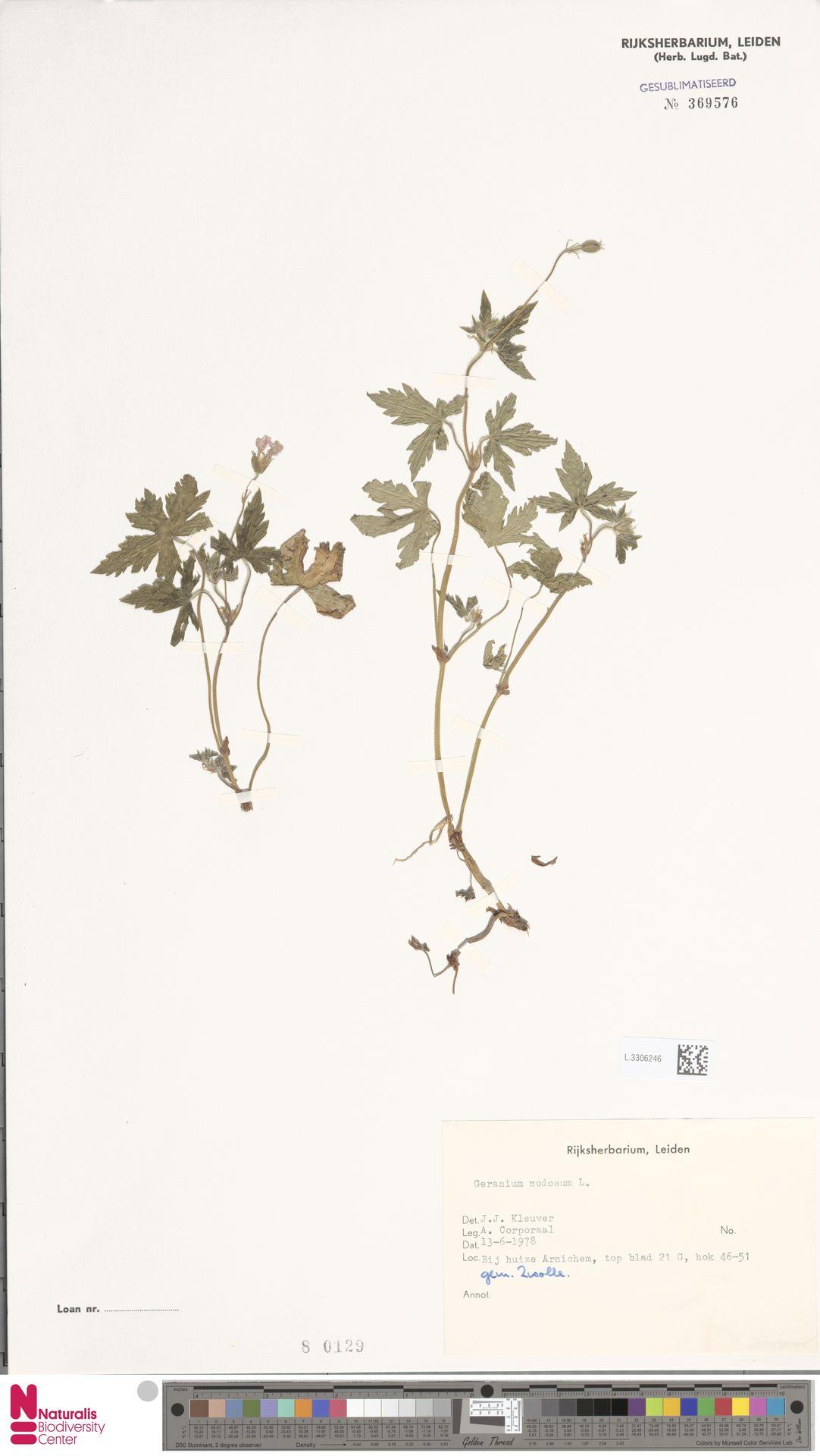 L.3306246 | Geranium nodosum L.