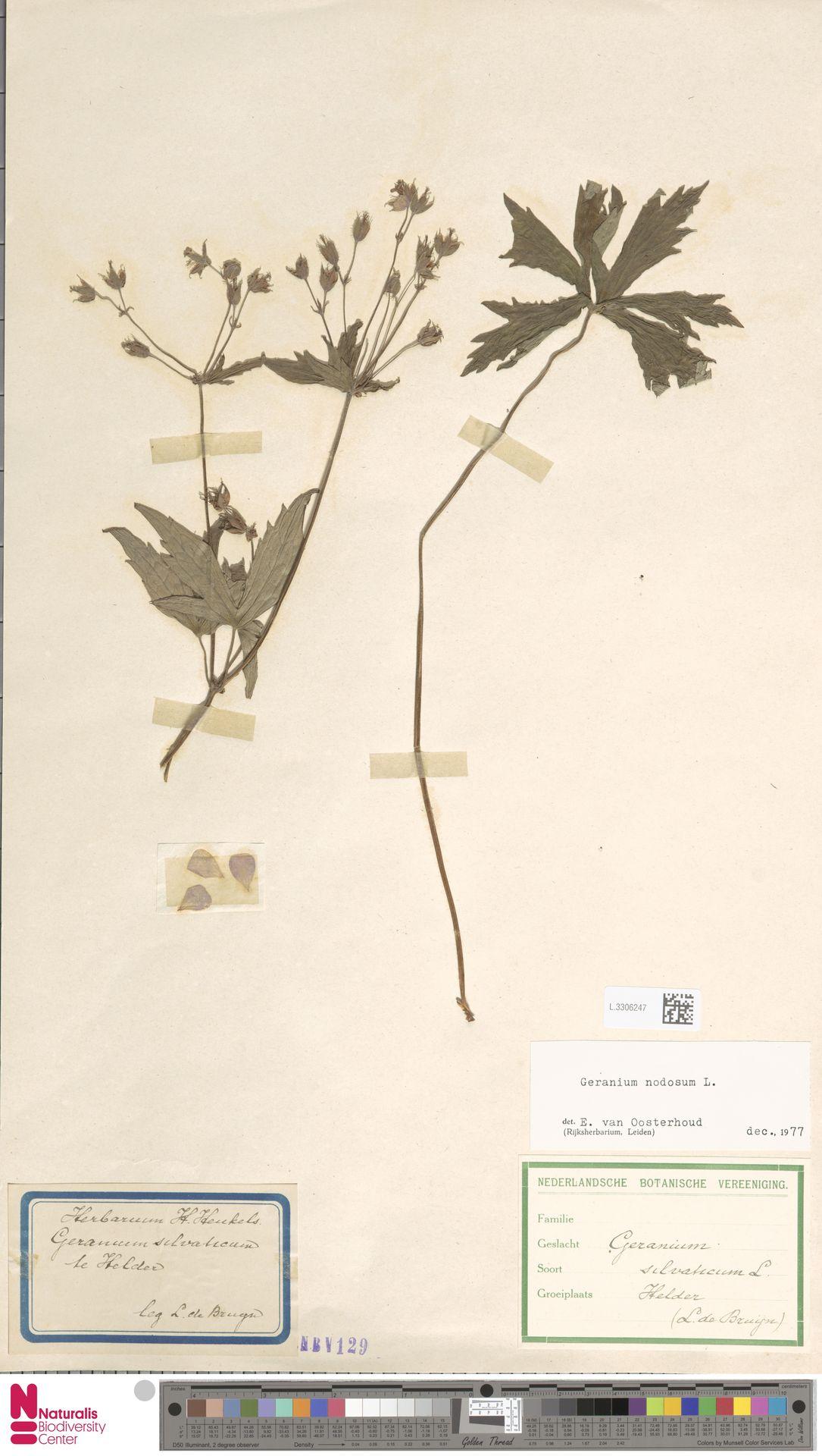 L.3306247 | Geranium nodosum L.