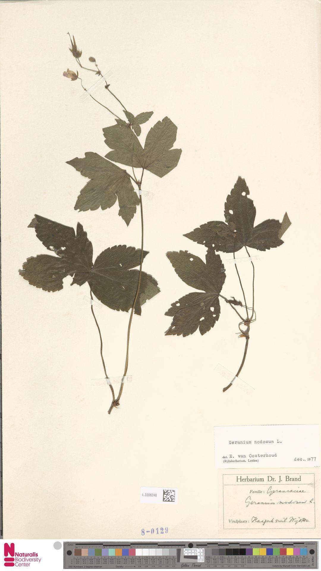 L.3306248   Geranium nodosum L.