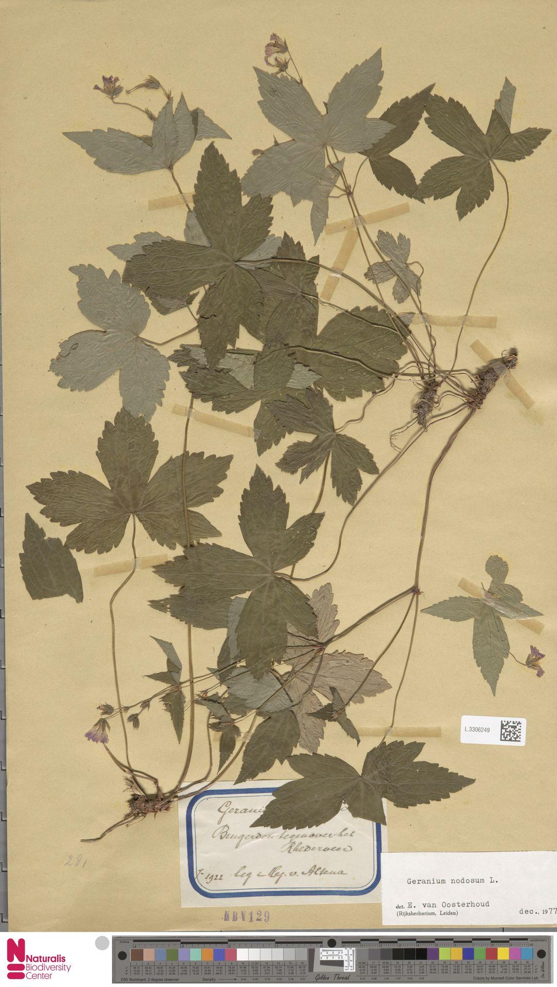 L.3306249   Geranium nodosum L.