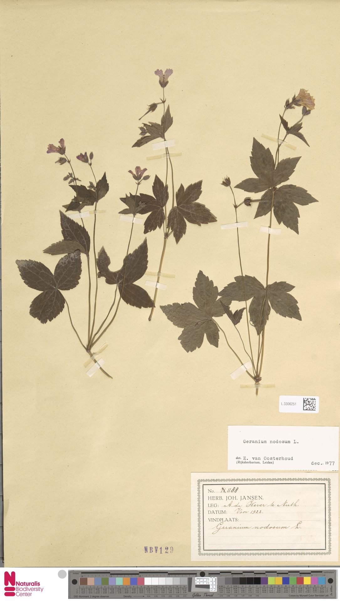 L.3306251 | Geranium nodosum L.