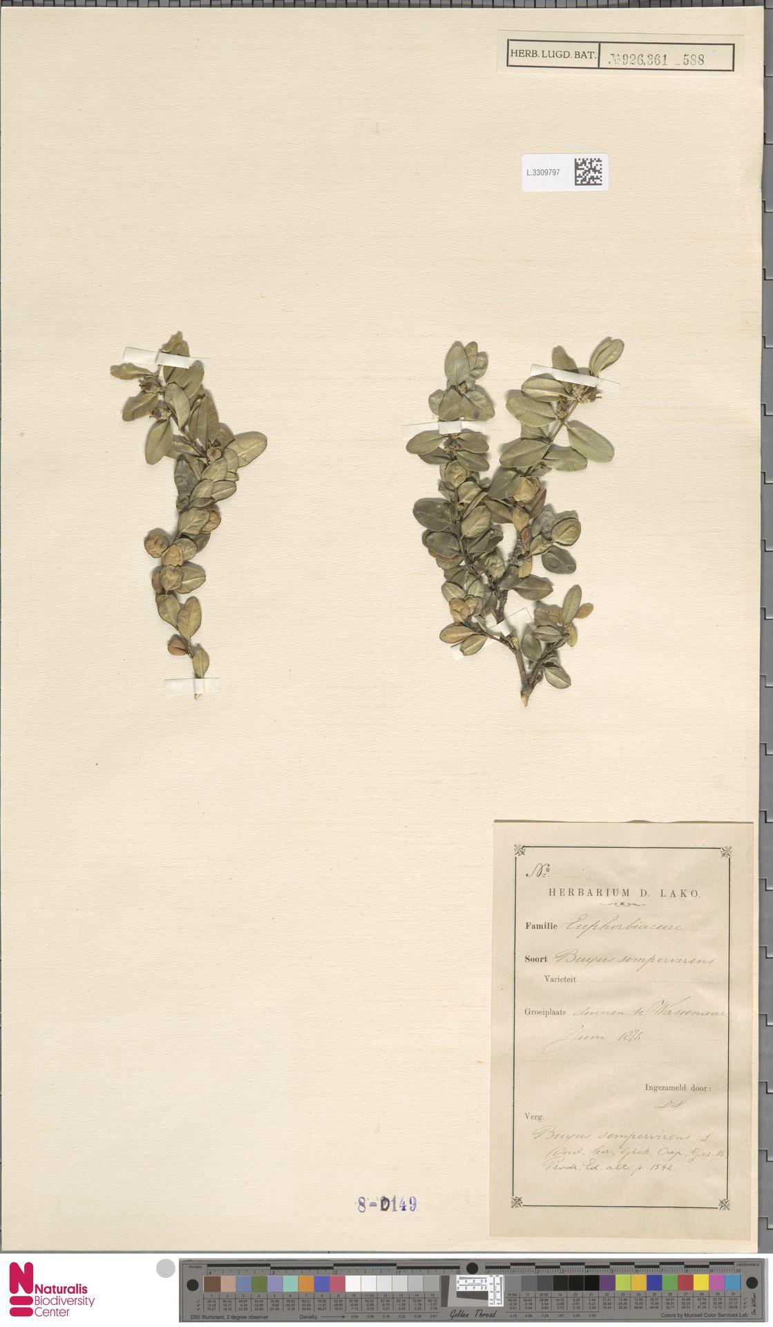 L.3309797 | Buxus sempervirens L.