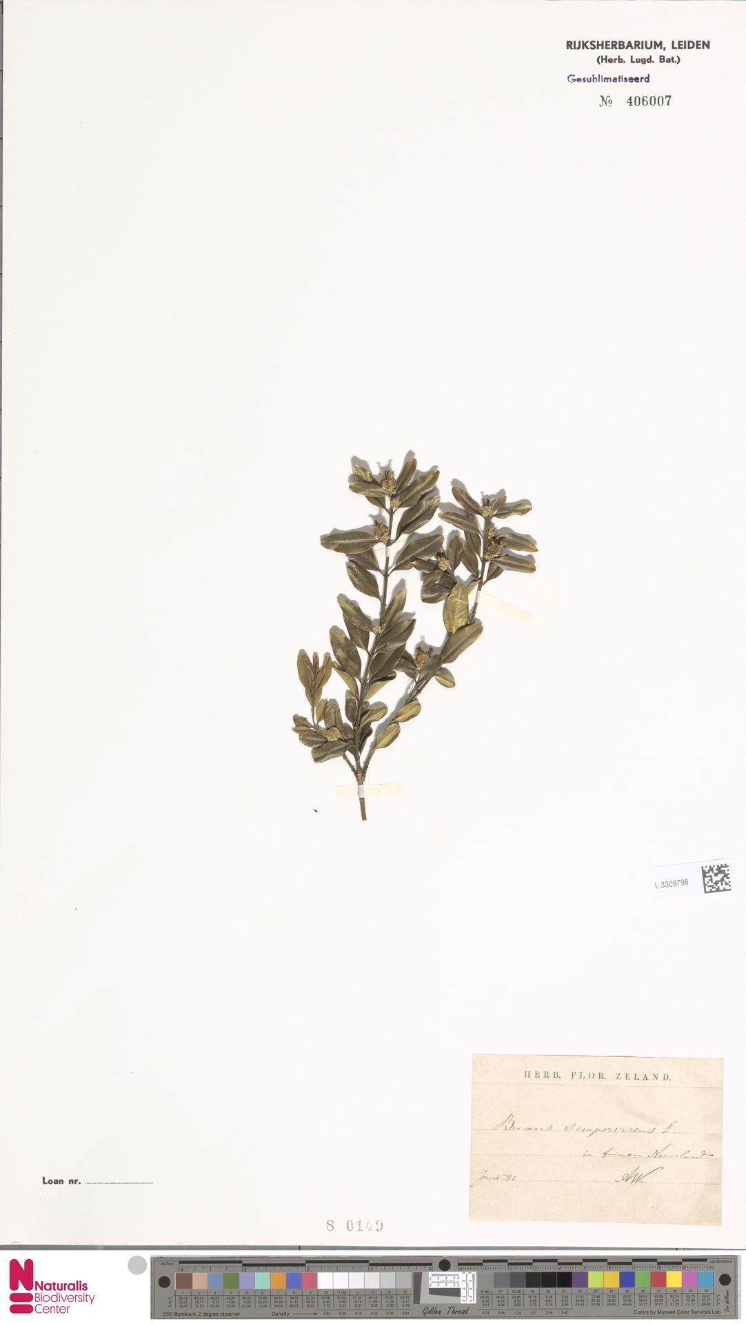 L.3309798   Buxus sempervirens L.