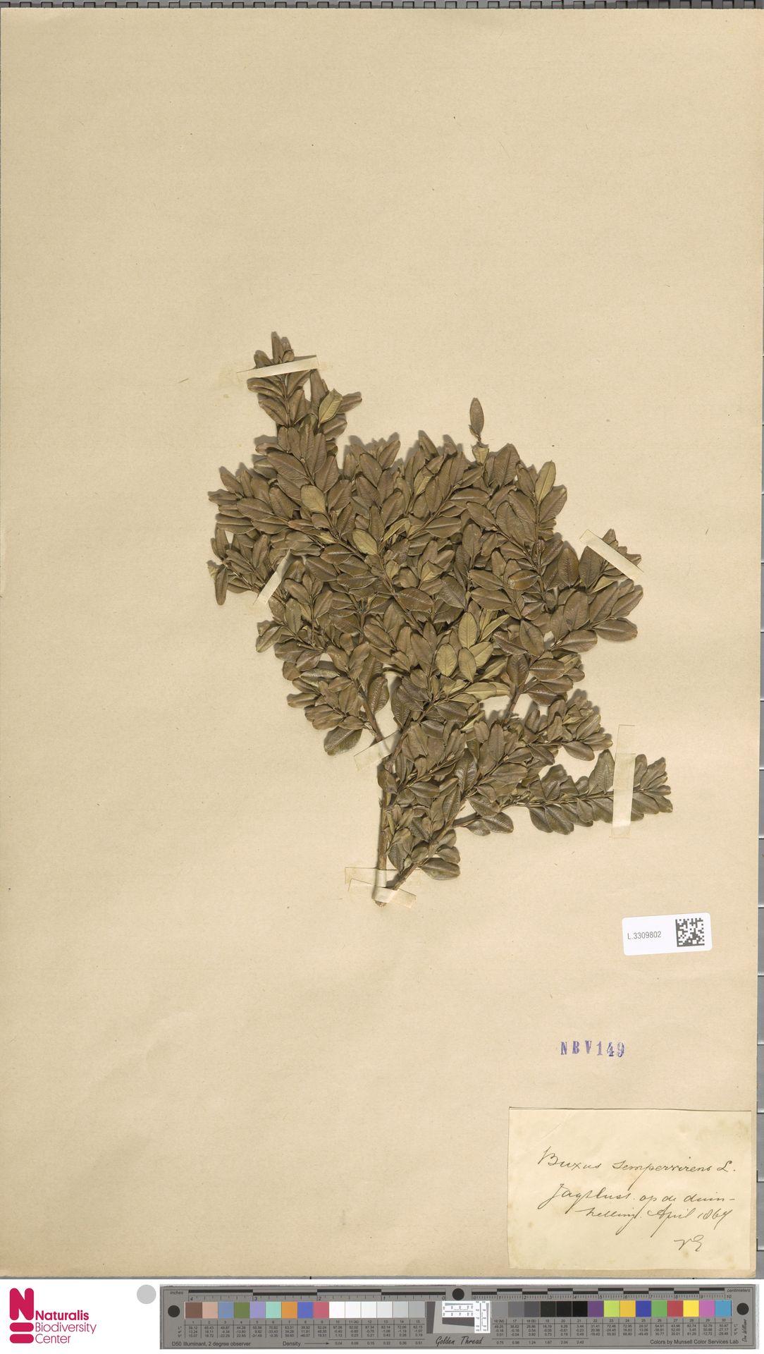 L.3309802 | Buxus sempervirens L.