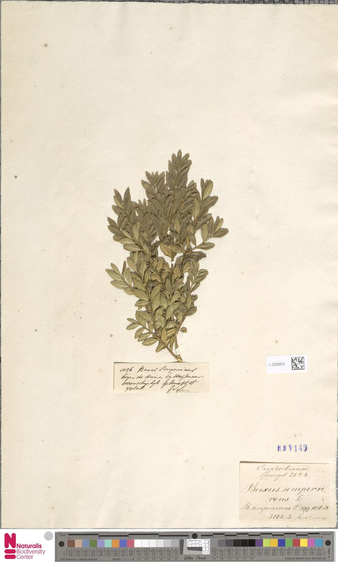 L.3309804 | Buxus sempervirens L.