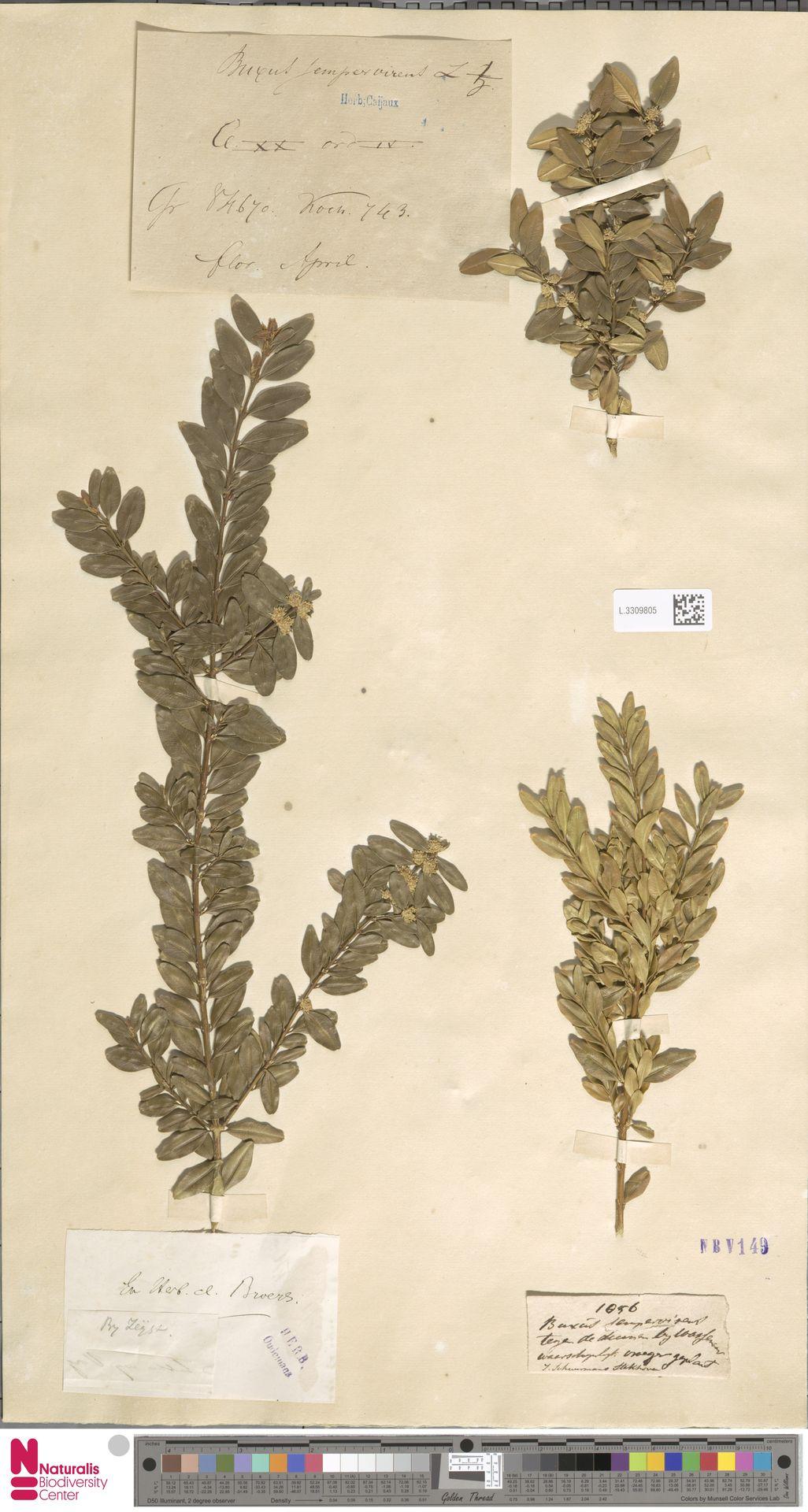 L.3309805 | Buxus sempervirens L.