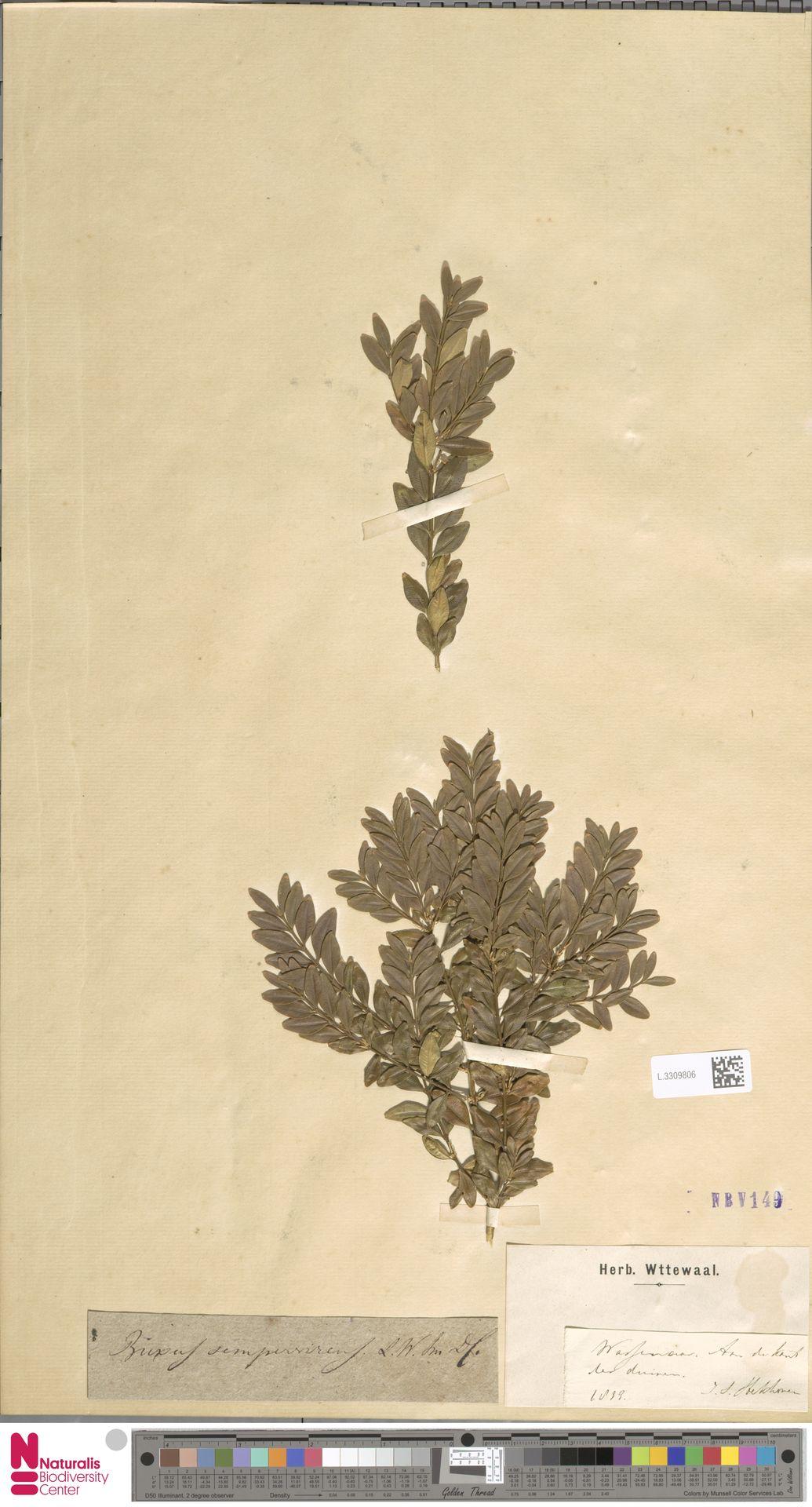 L.3309806 | Buxus sempervirens L.