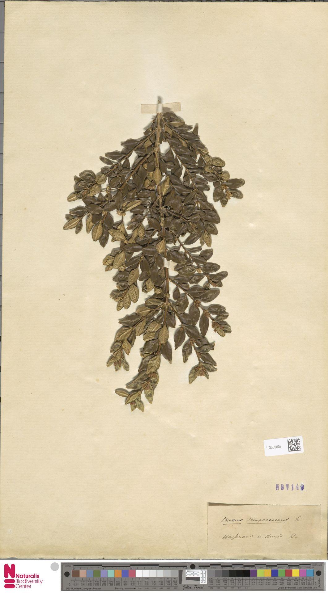 L.3309807 | Buxus sempervirens L.
