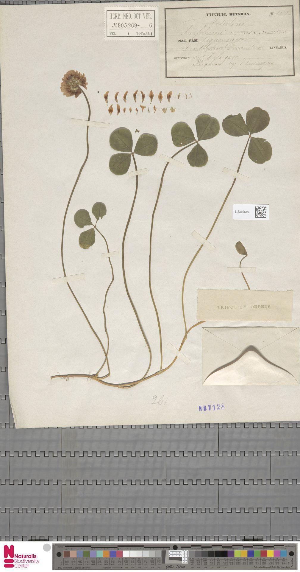 L.3310649 | Trifolium repens L.