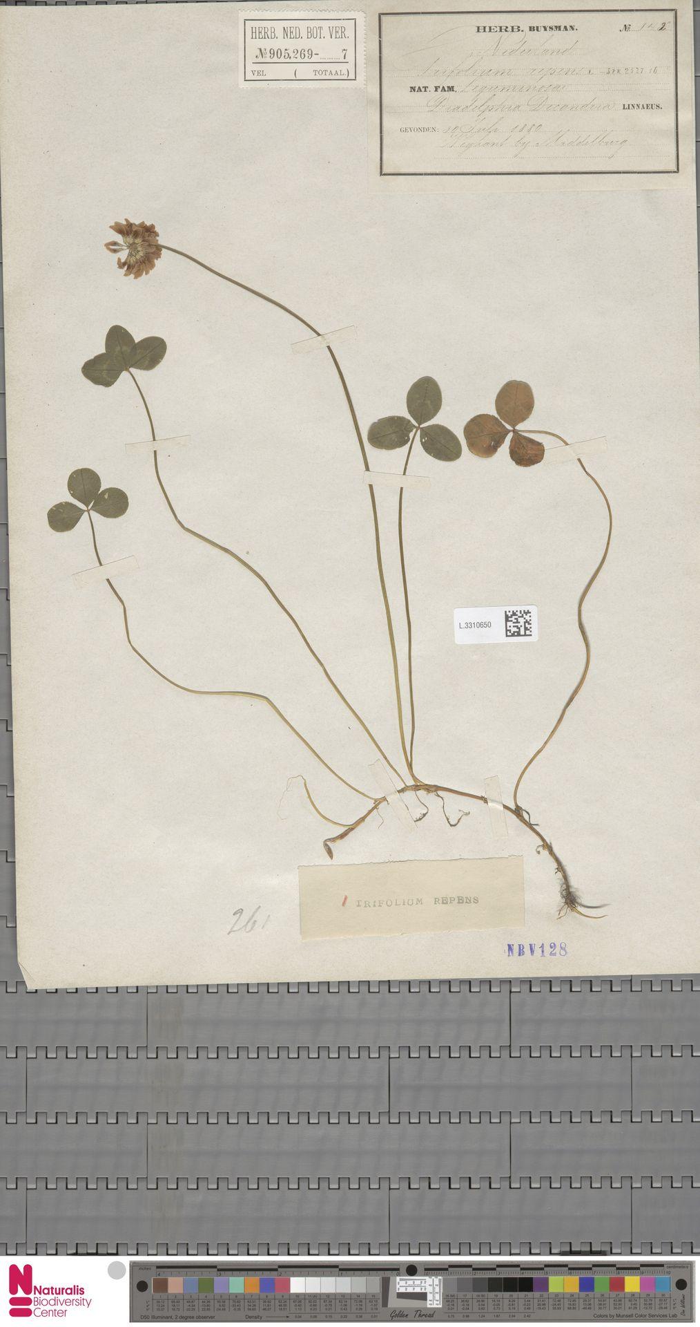 L.3310650   Trifolium repens L.