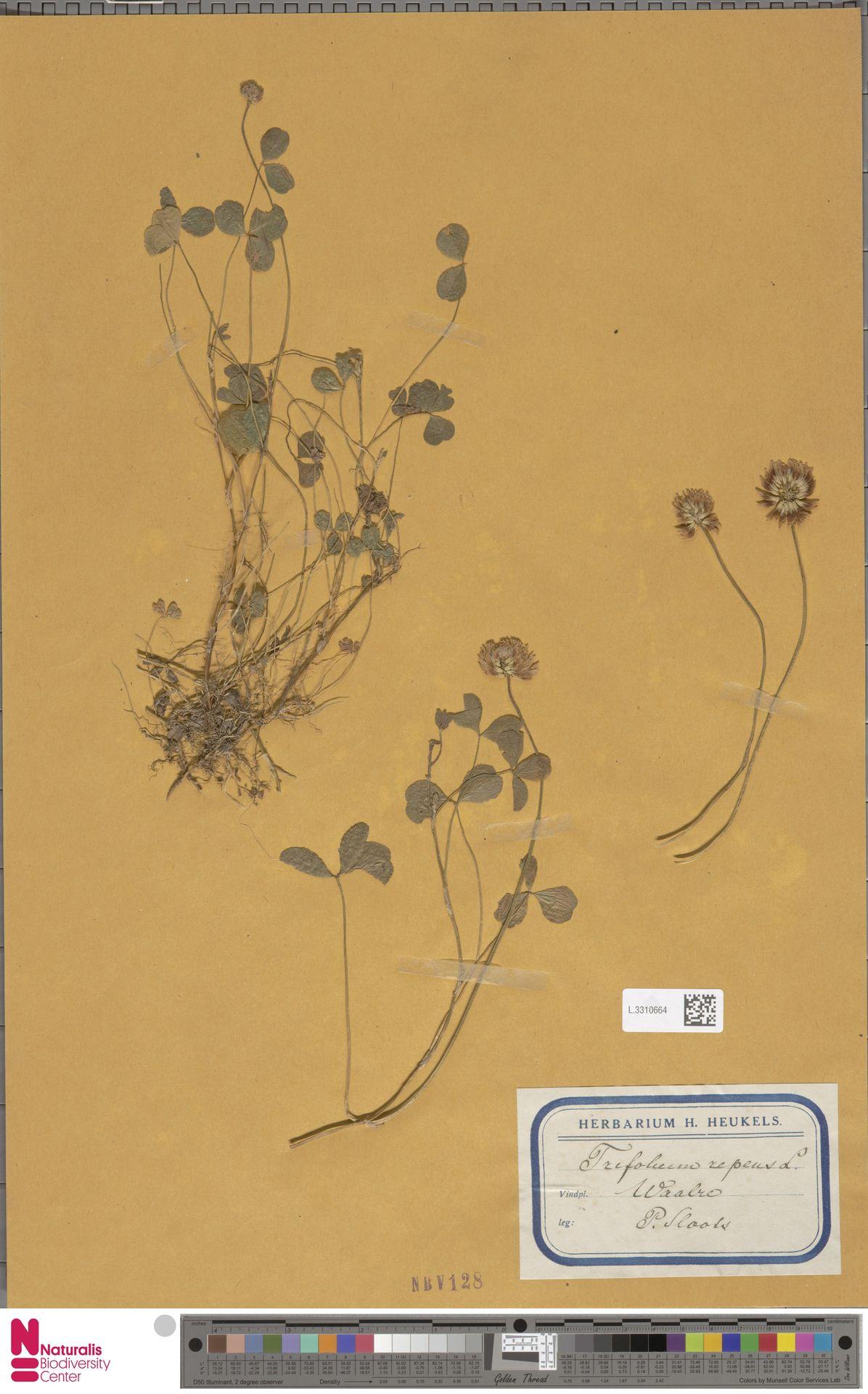 L.3310664   Trifolium repens L.