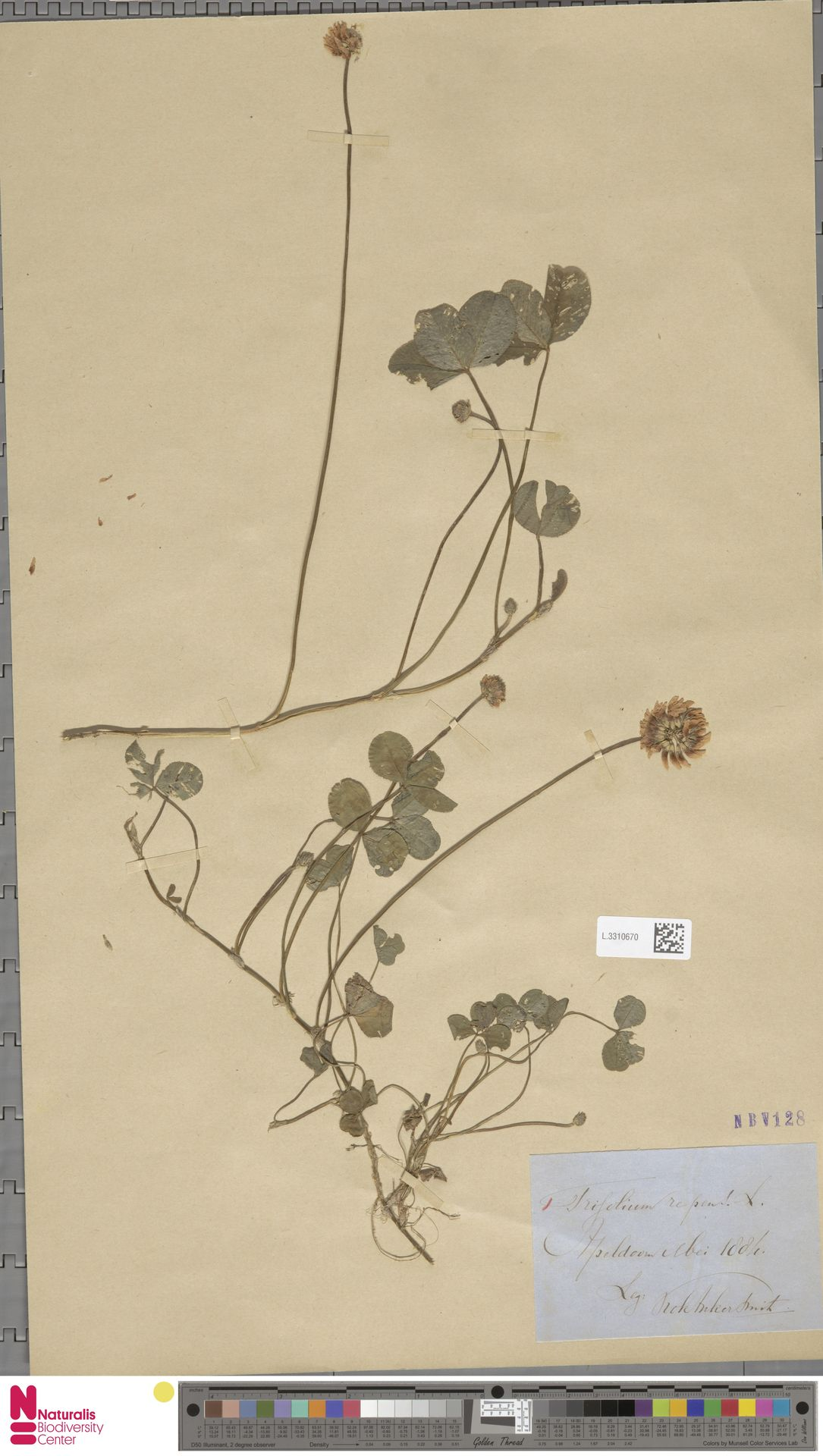 L.3310670   Trifolium repens L.