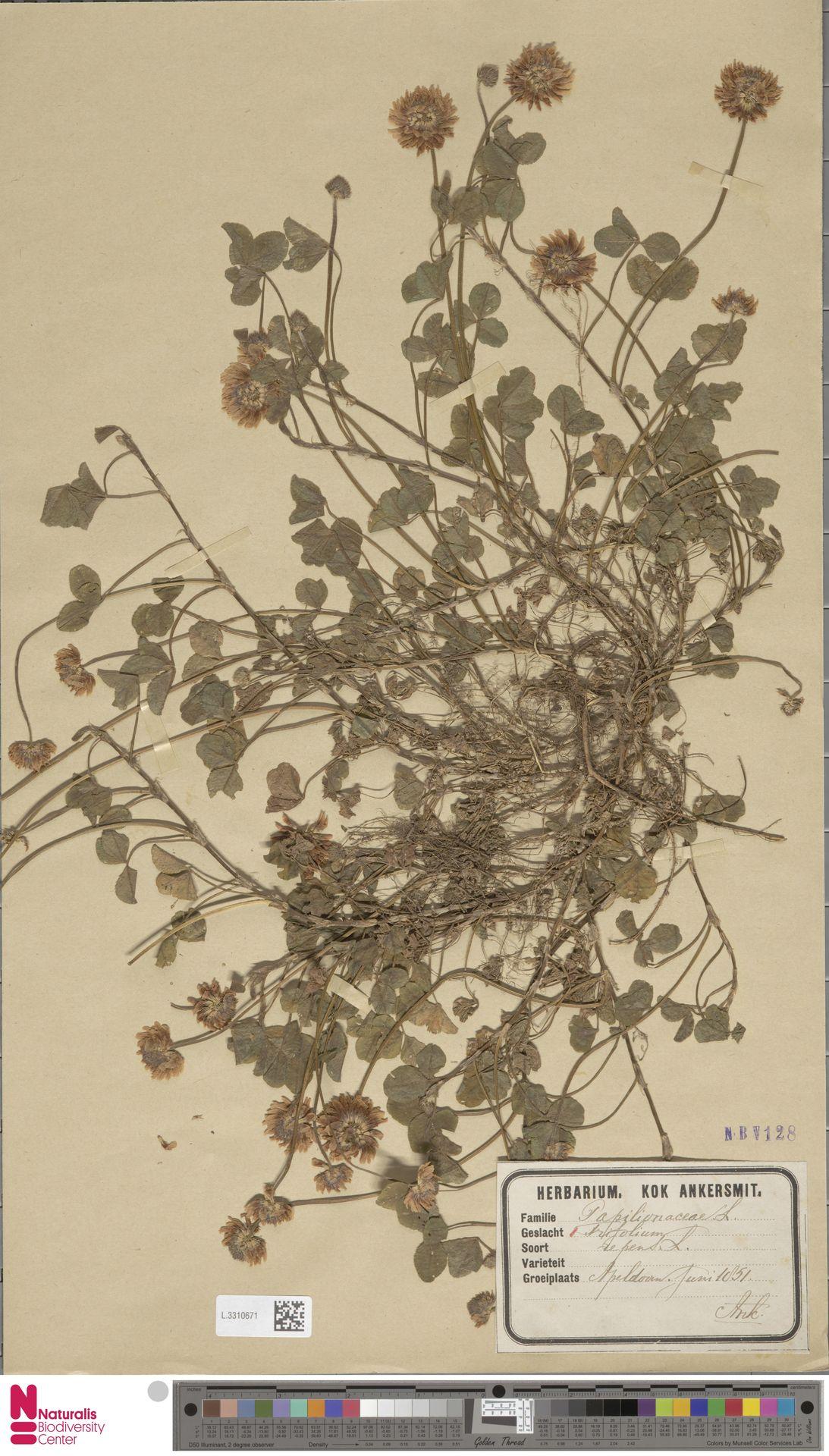 L.3310671 | Trifolium repens L.