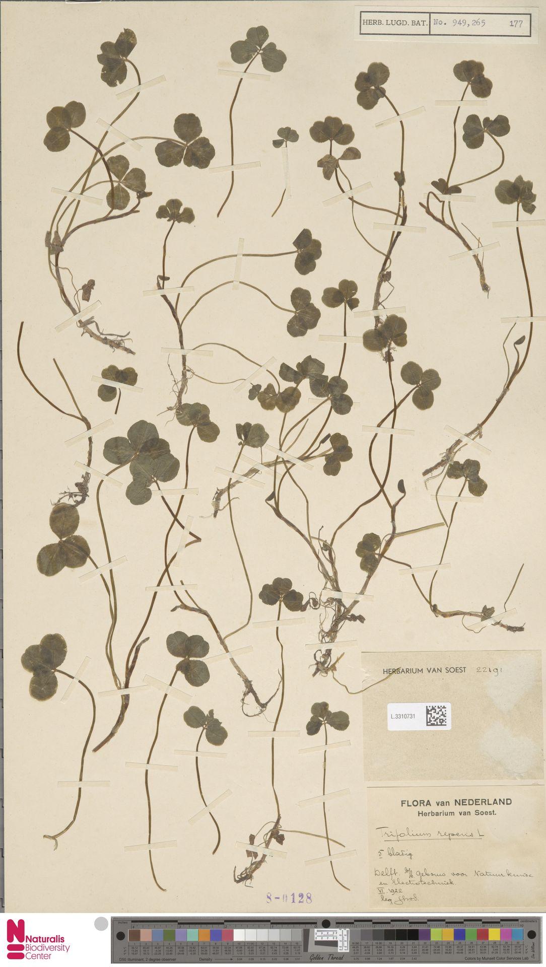 L.3310731 | Trifolium repens L.