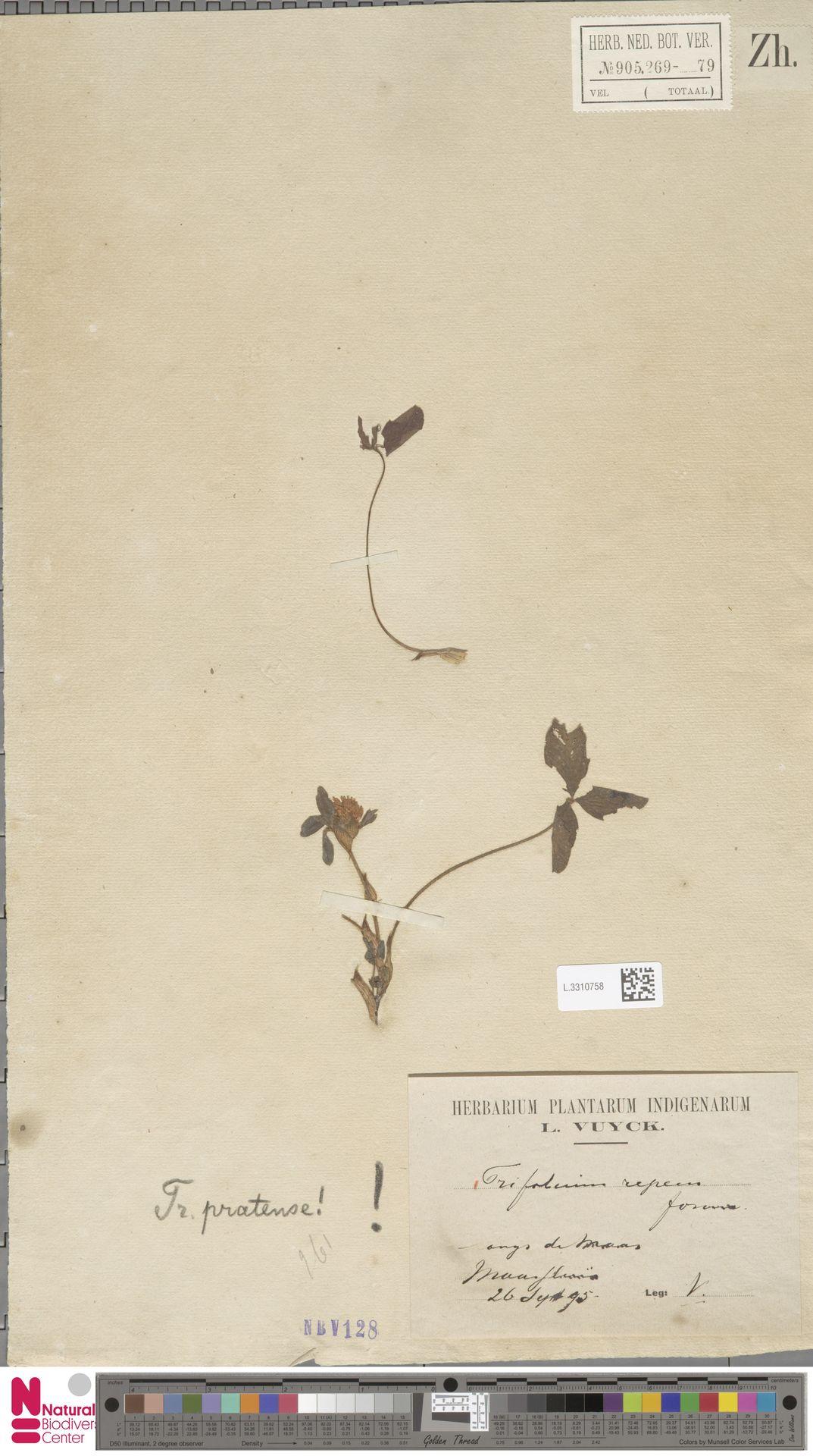 L.3310758 | Trifolium repens L.