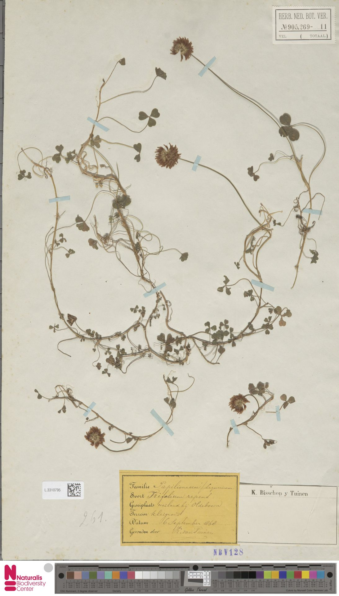 L.3310795 | Trifolium repens L.
