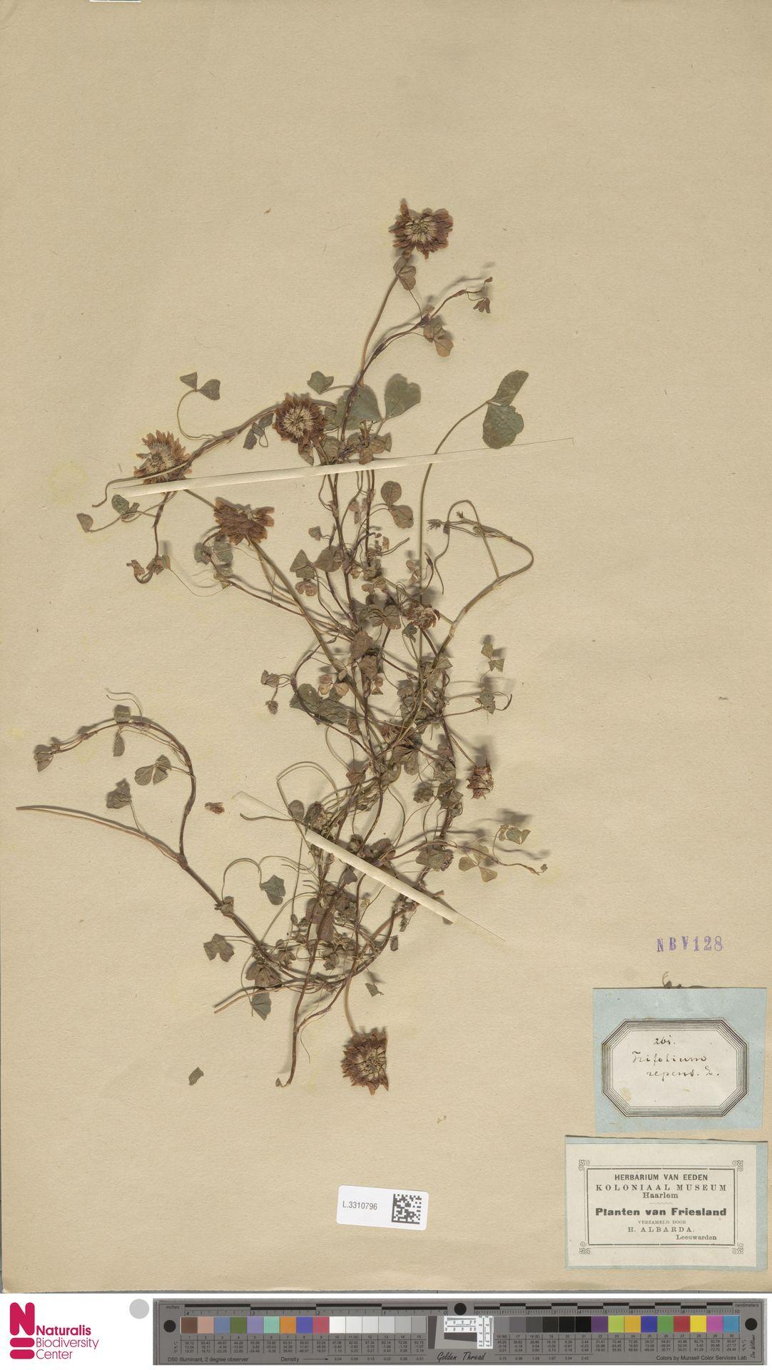 L.3310796 | Trifolium repens L.